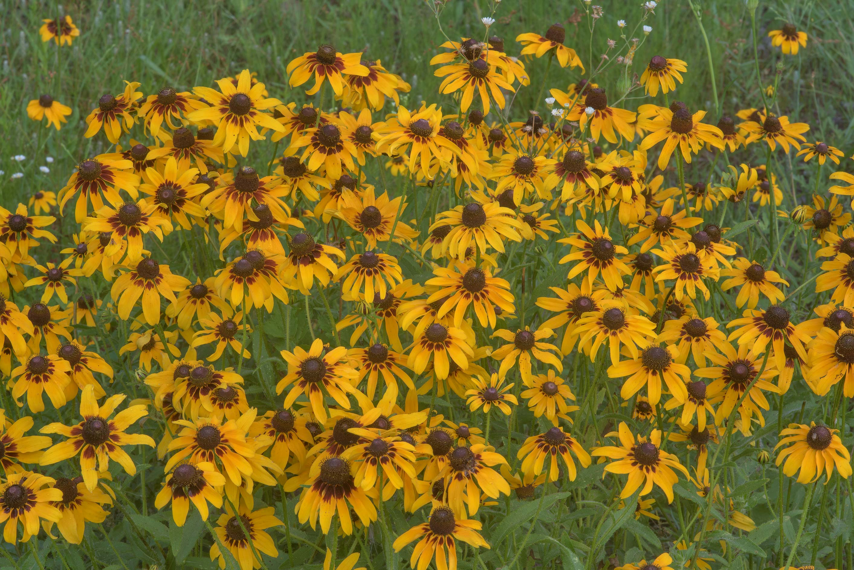 Black eyed susan flowers (Rudbeckia hirta) in Lake Bryan Park. Bryan, Texas