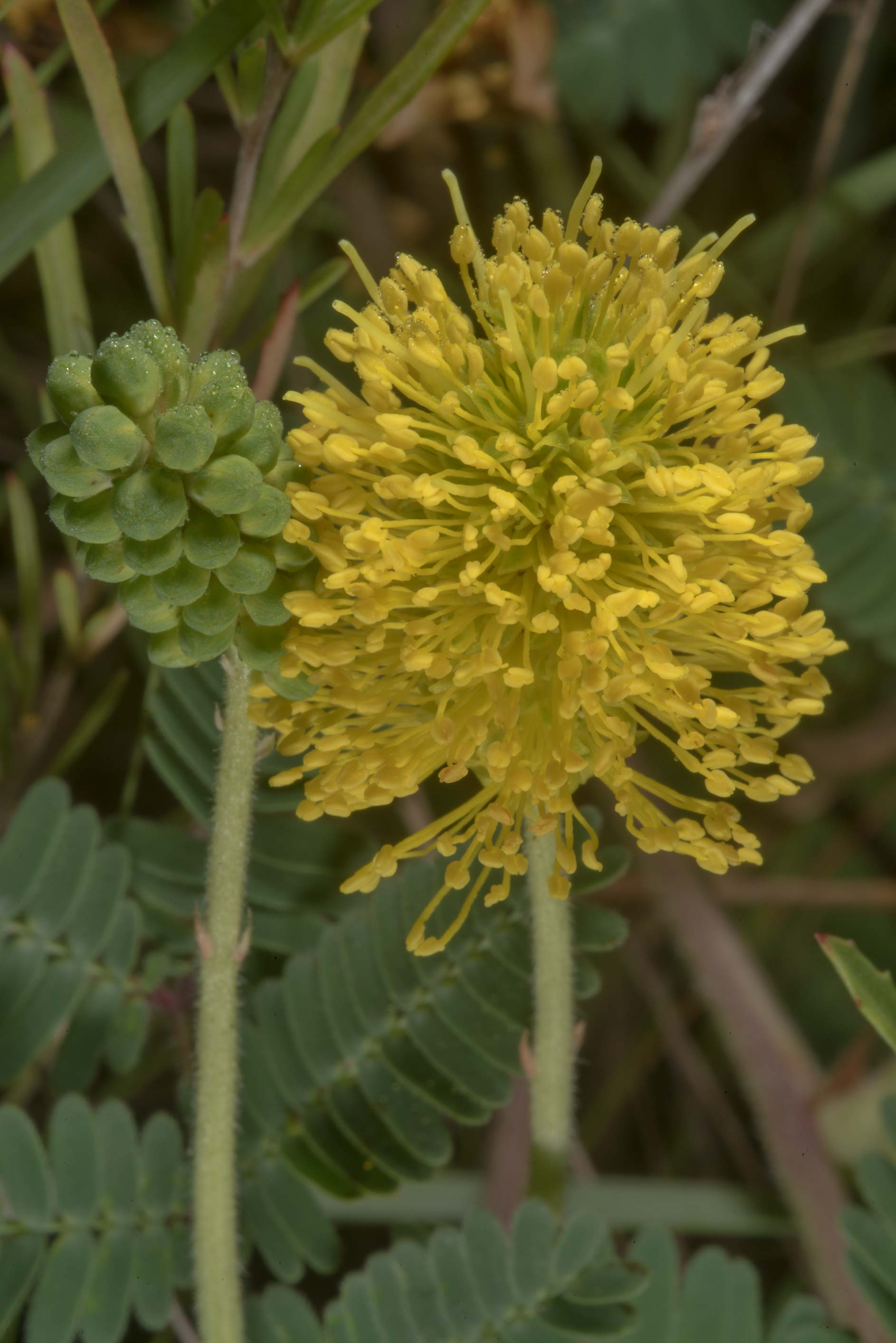 Flowers of Yellow puff (Neptunia lutea) in Lake Bryan Park. Bryan, Texas