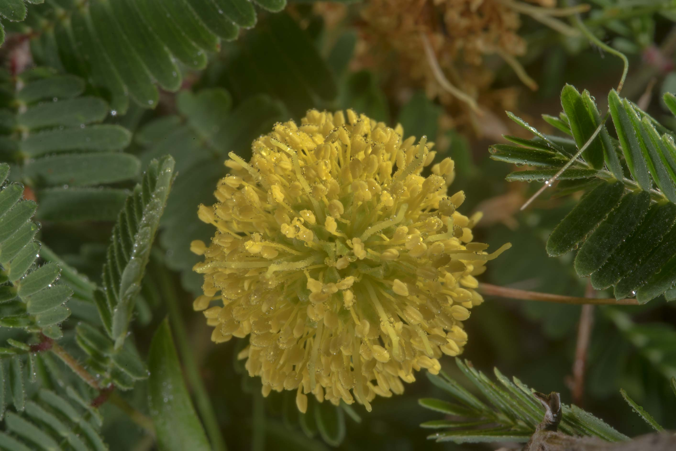 Close up of Yellow puff (Neptunia lutea) in Lake Bryan Park. Bryan, Texas