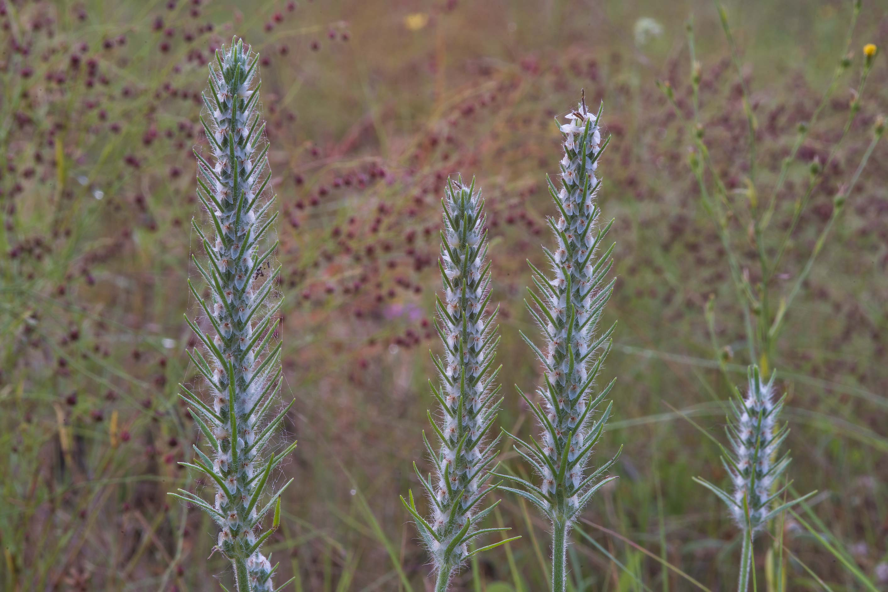 Largebracted plantain (Plantago aristata) in Lick Creek Park. College Station, Texas