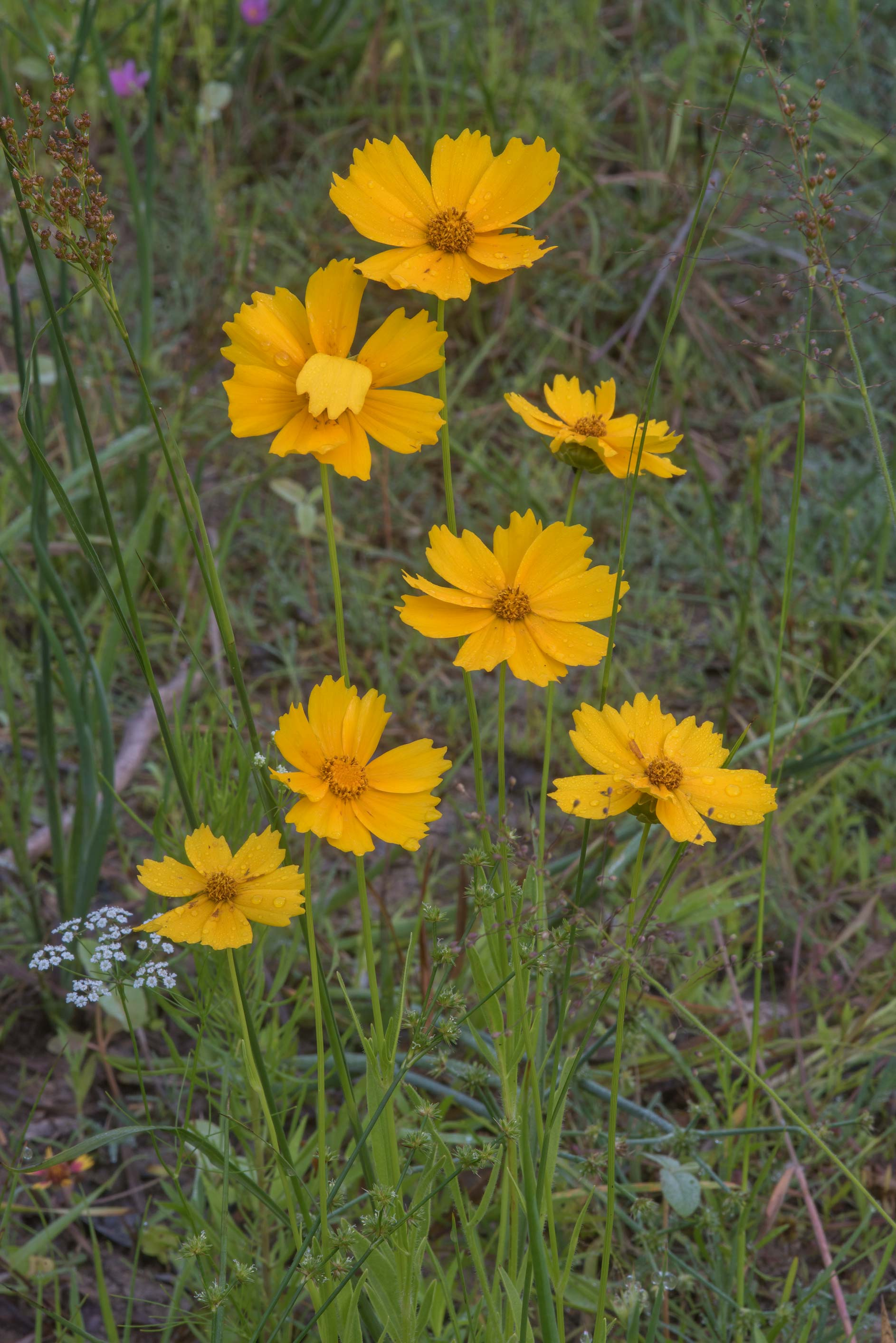 Lanceleaf tickseed (Coreopsis lanceolata) on a...Creek Park. College Station, Texas
