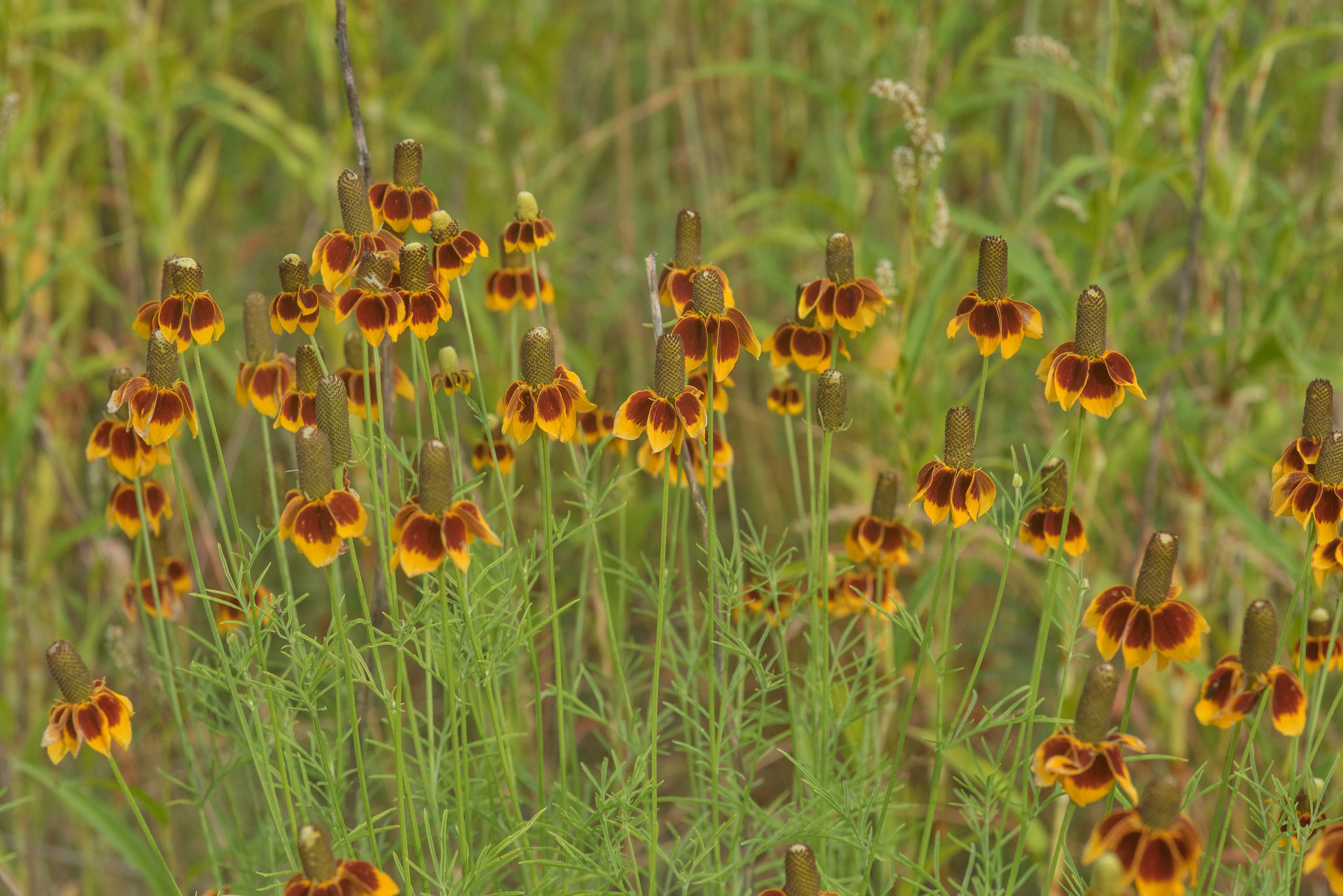 Mexican hat flowers (Ratibida columnifera) in...State Historic Site. Washington, Texas