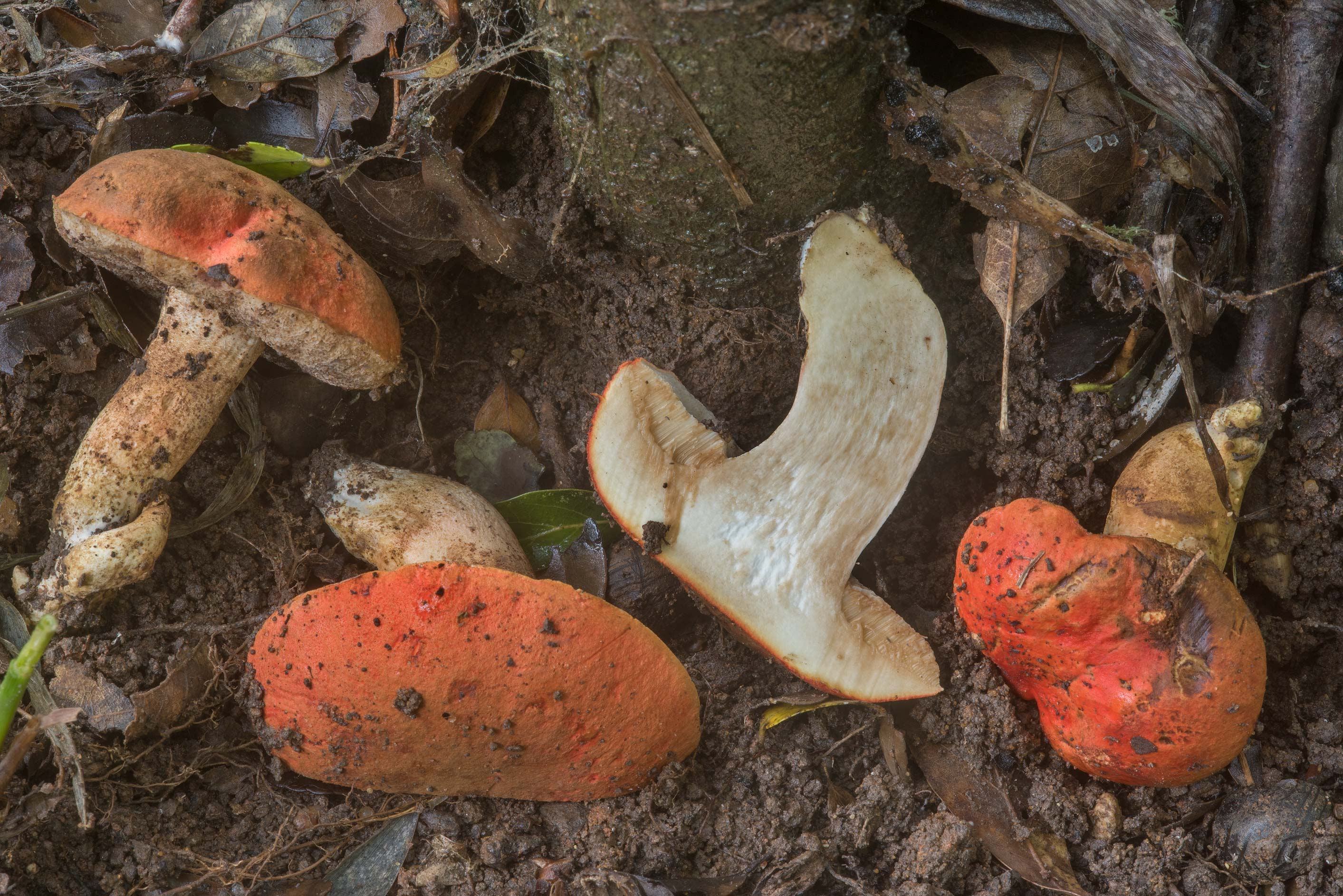 Dissected burnt orange bolete mushrooms...Creek Park. College Station, Texas