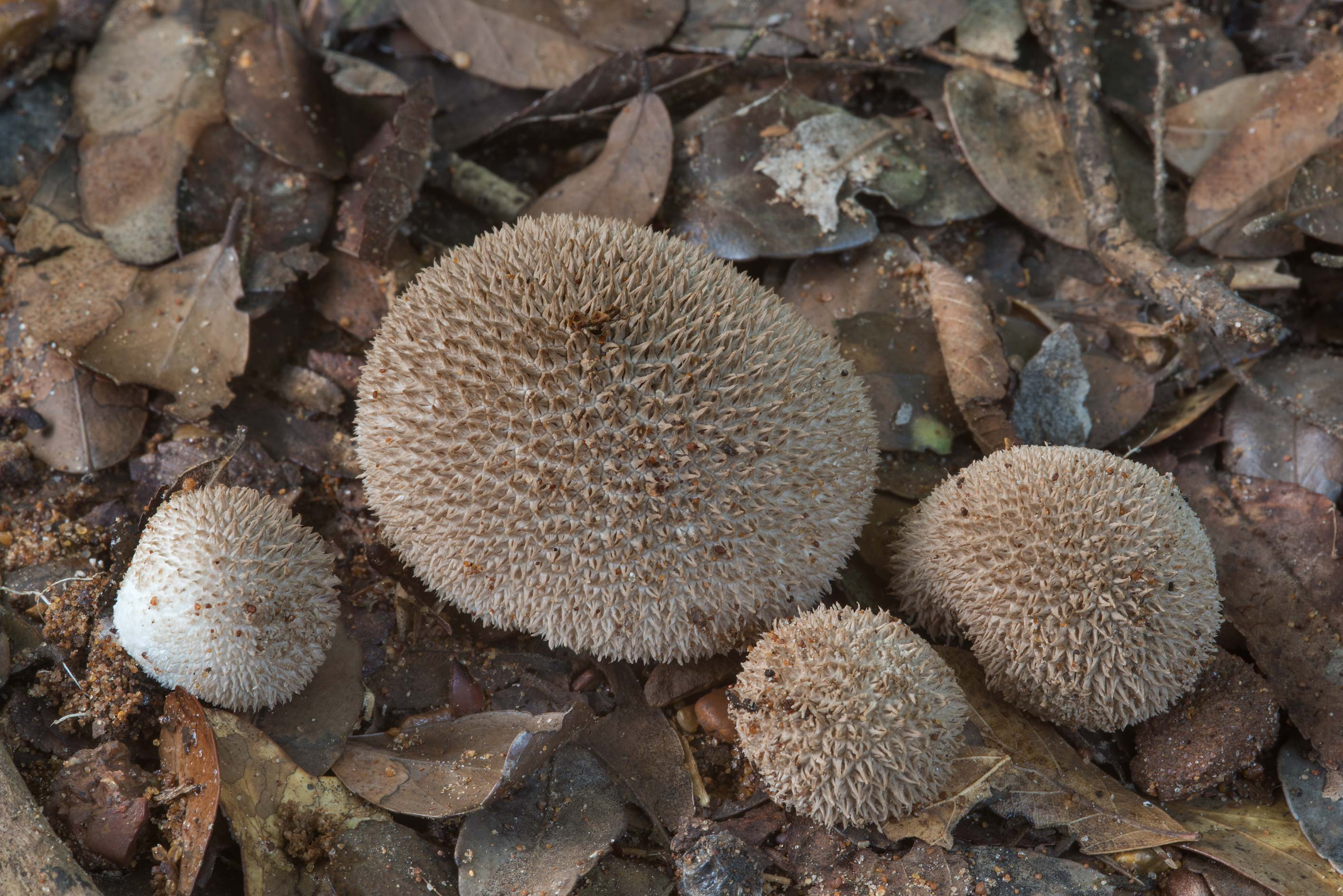 Spiny puffball mushrooms (Lycoperdon americanum...Creek Park. College Station, Texas