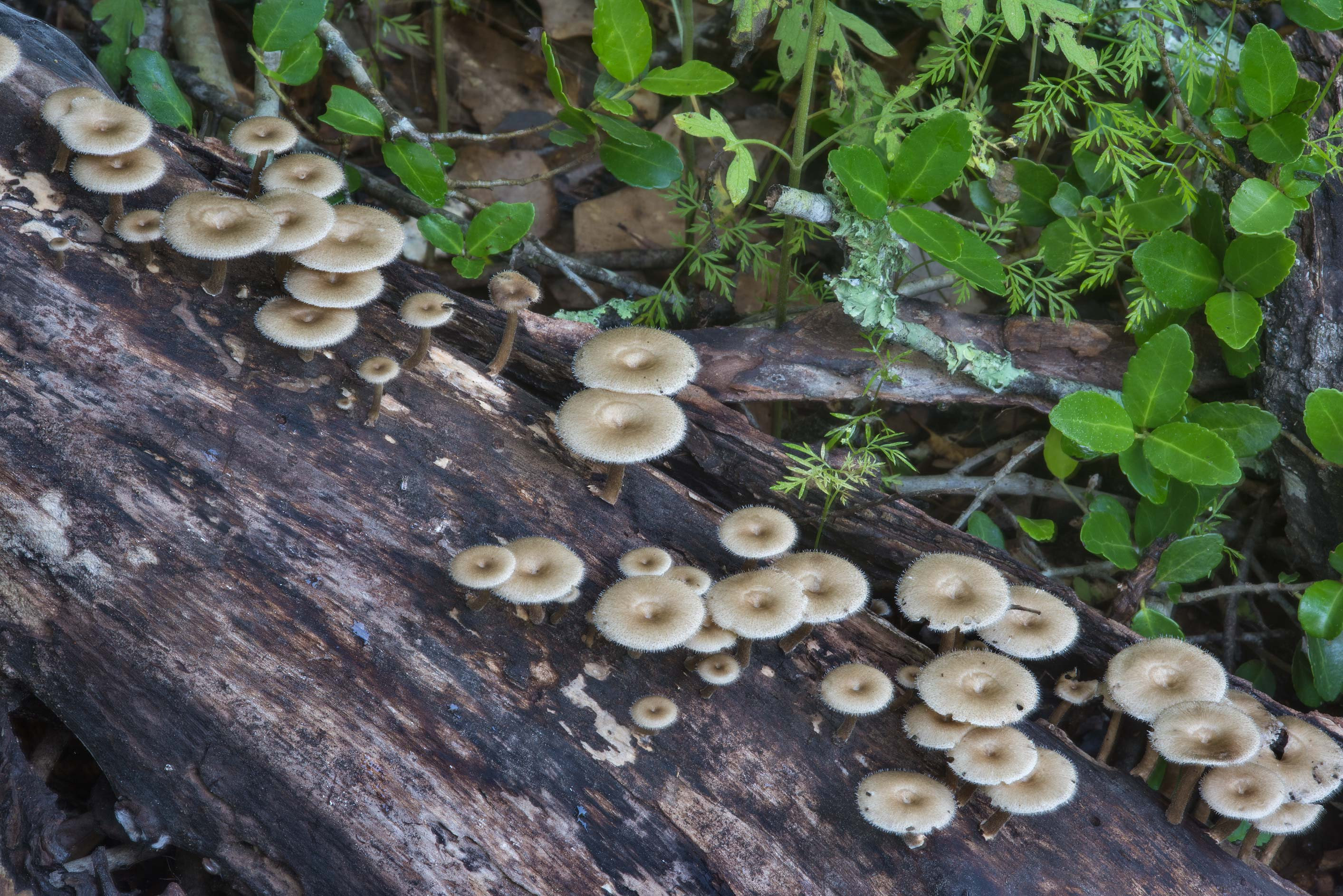 Lentinus crinitus mushrooms on an oak log in Lick Creek Park. College Station, Texas
