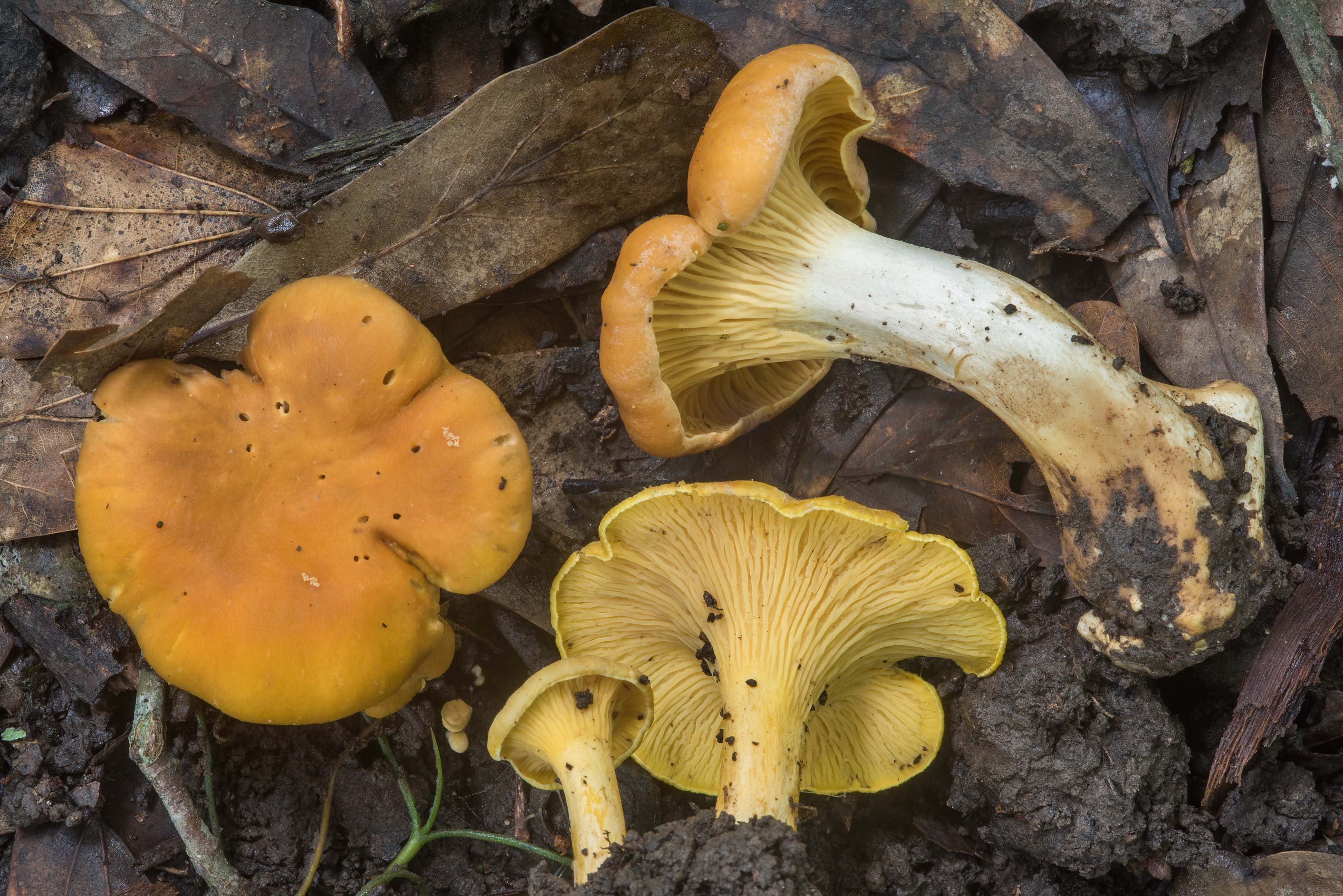 Group of chanterelle mushrooms (Cantharellus...Creek Park. College Station, Texas