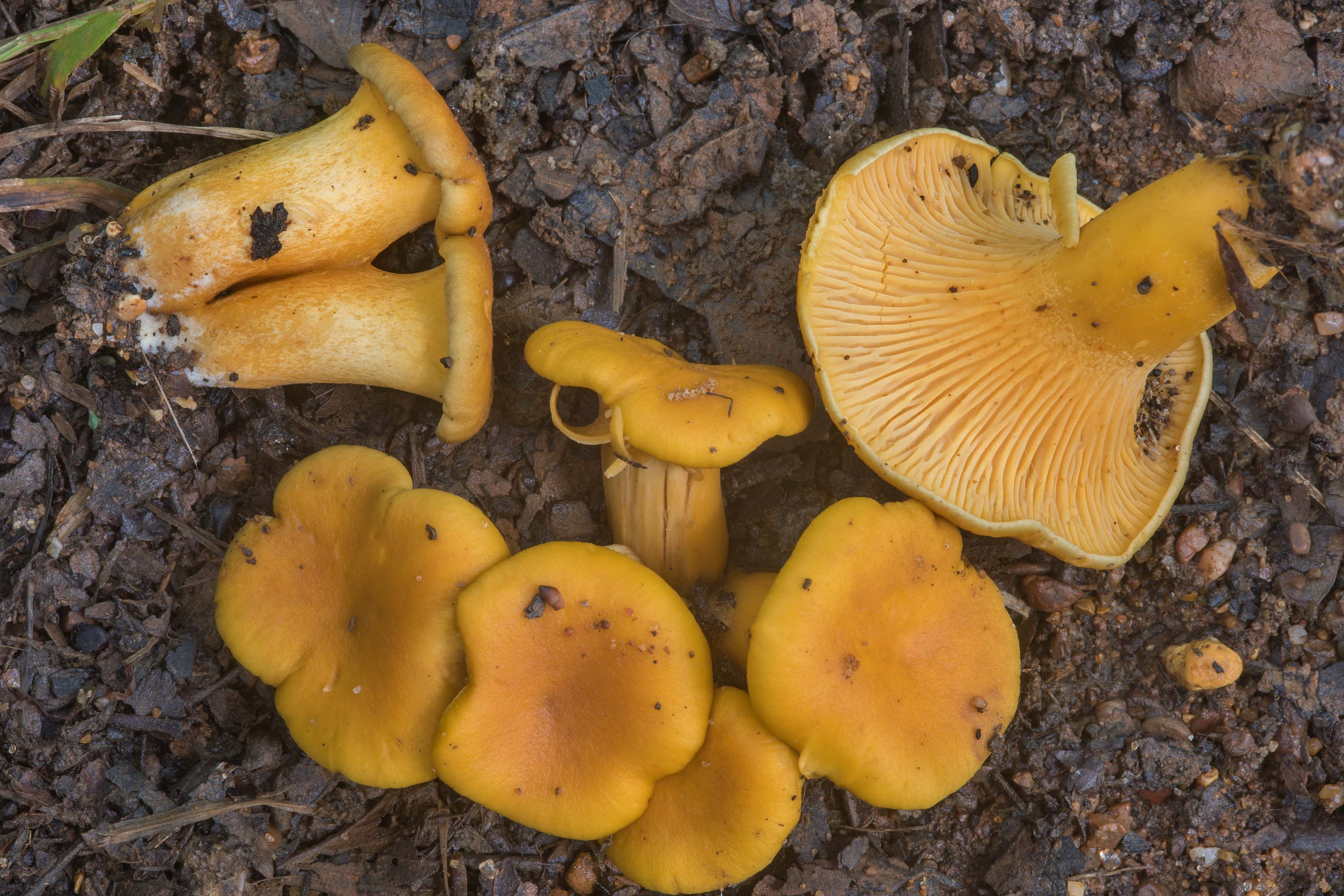 Young chanterelle mushrooms (Cantharellus...Creek Park. College Station, Texas