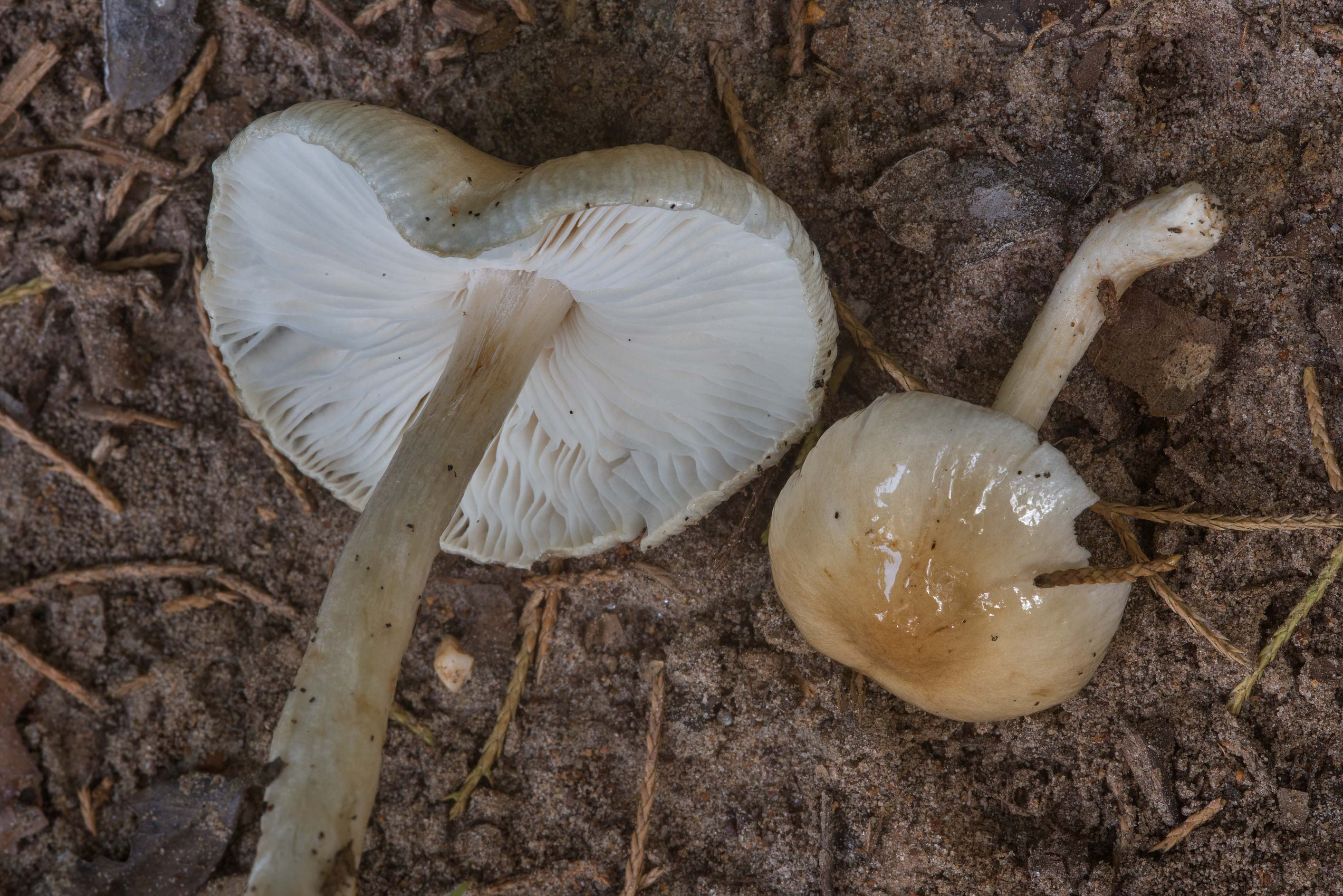 Overflowing Slimy Stem mushrooms (Limacella...Creek Park. College Station, Texas