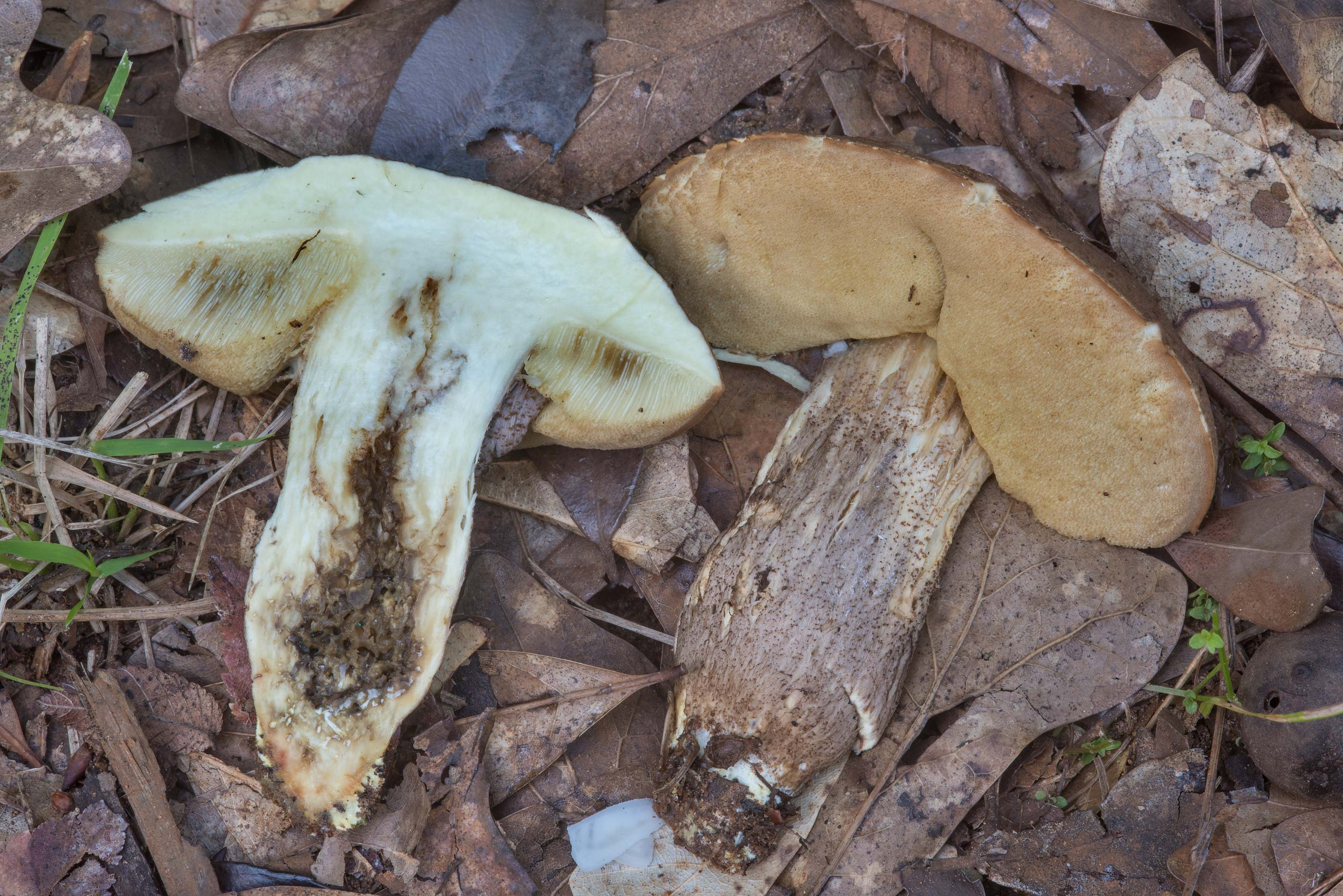 Dissected bolete mushroom Leccinum in Lick Creek Park. College Station, Texas