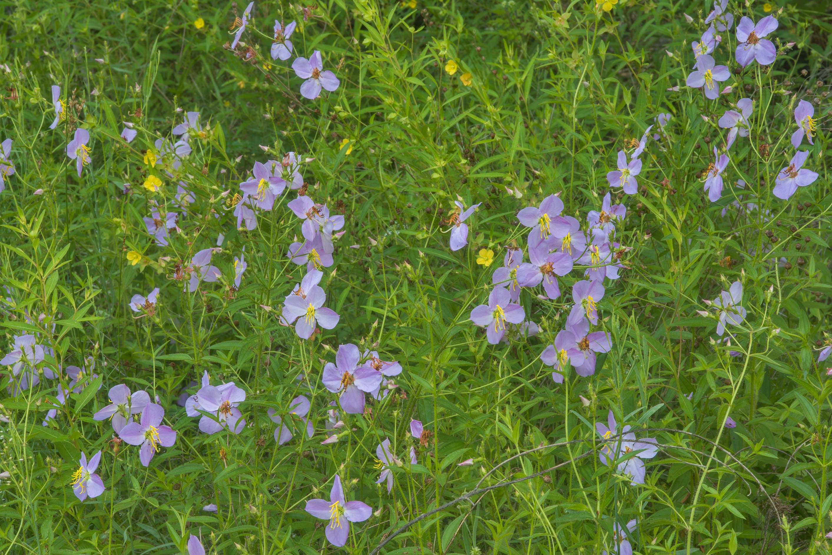Blooming Maryland meadow-beauty (Rhexia mariana...Creek Park. College Station, Texas