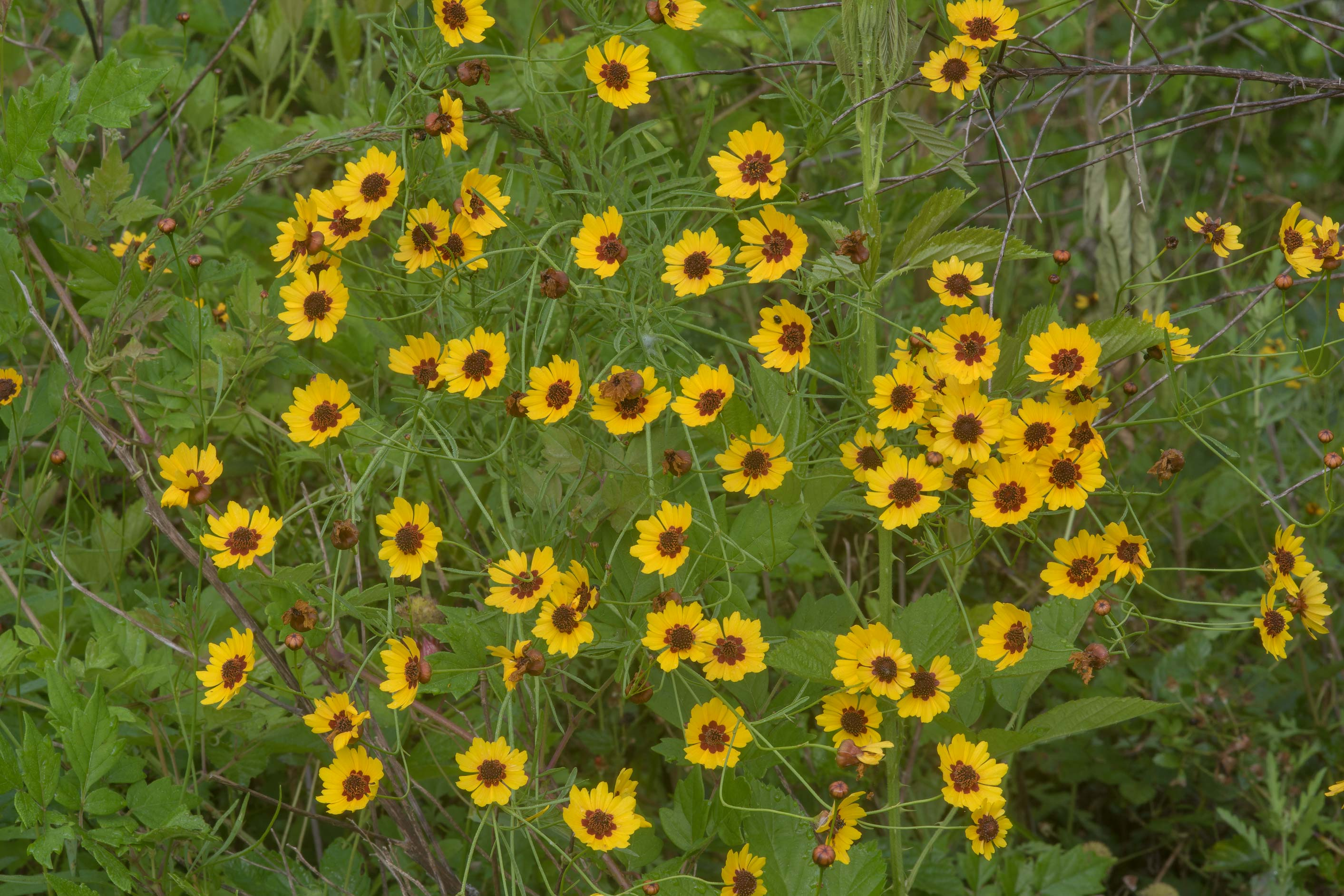 Blooming golden tickseed (Coreopsis tinctoria) on...Creek Park. College Station, Texas