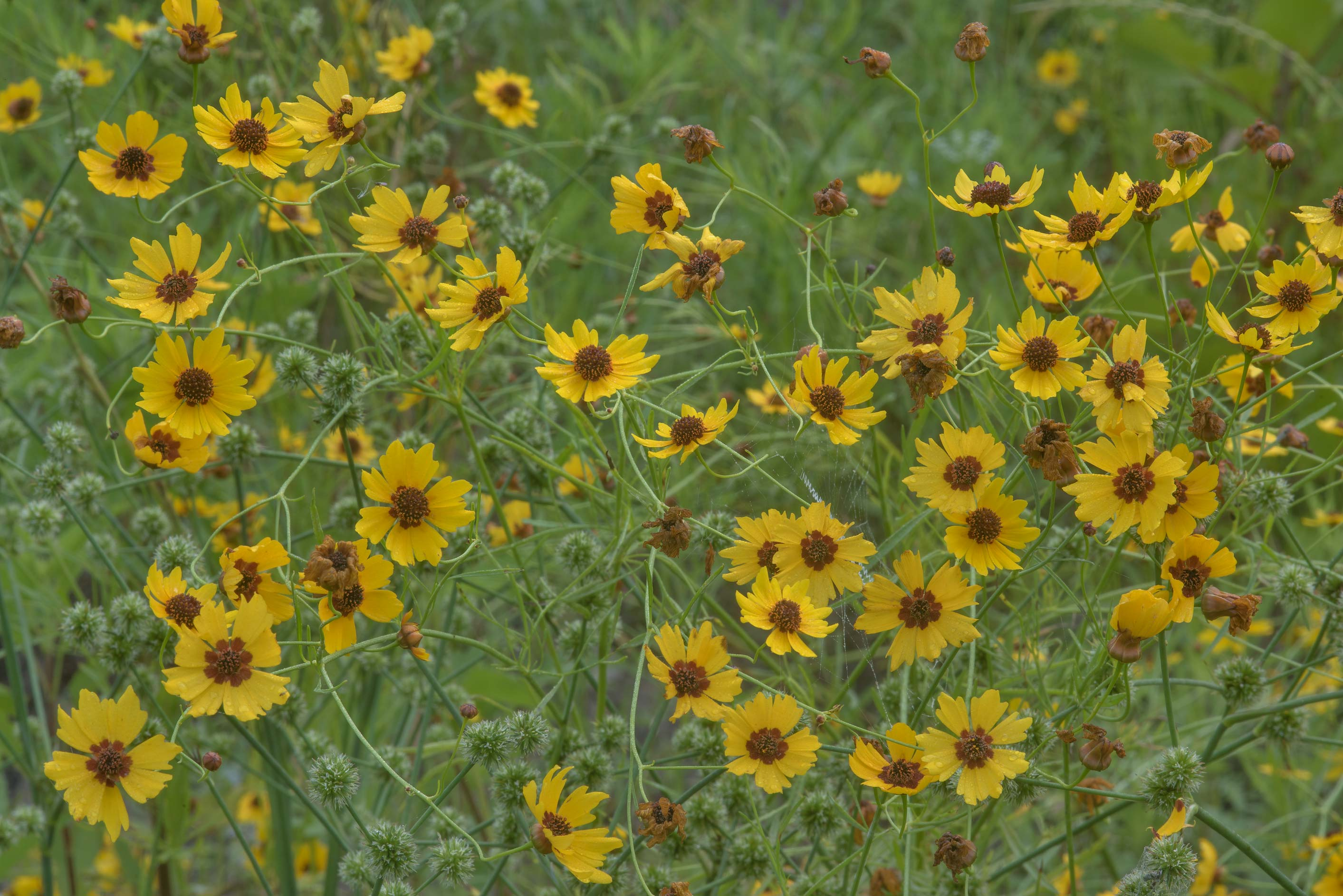 Flowers of golden tickseed (Coreopsis tinctoria...Creek Park. College Station, Texas