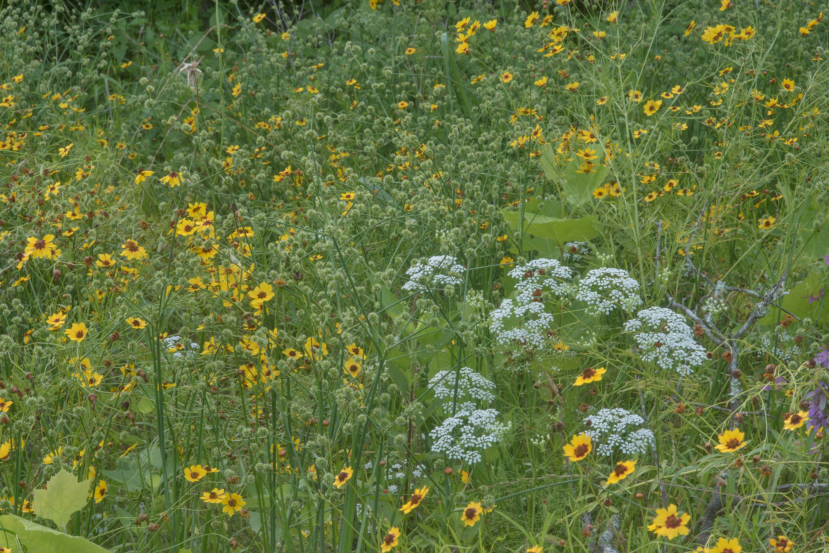 Golden tickseed (Coreopsis tinctoria) and...Creek Park. College Station, Texas