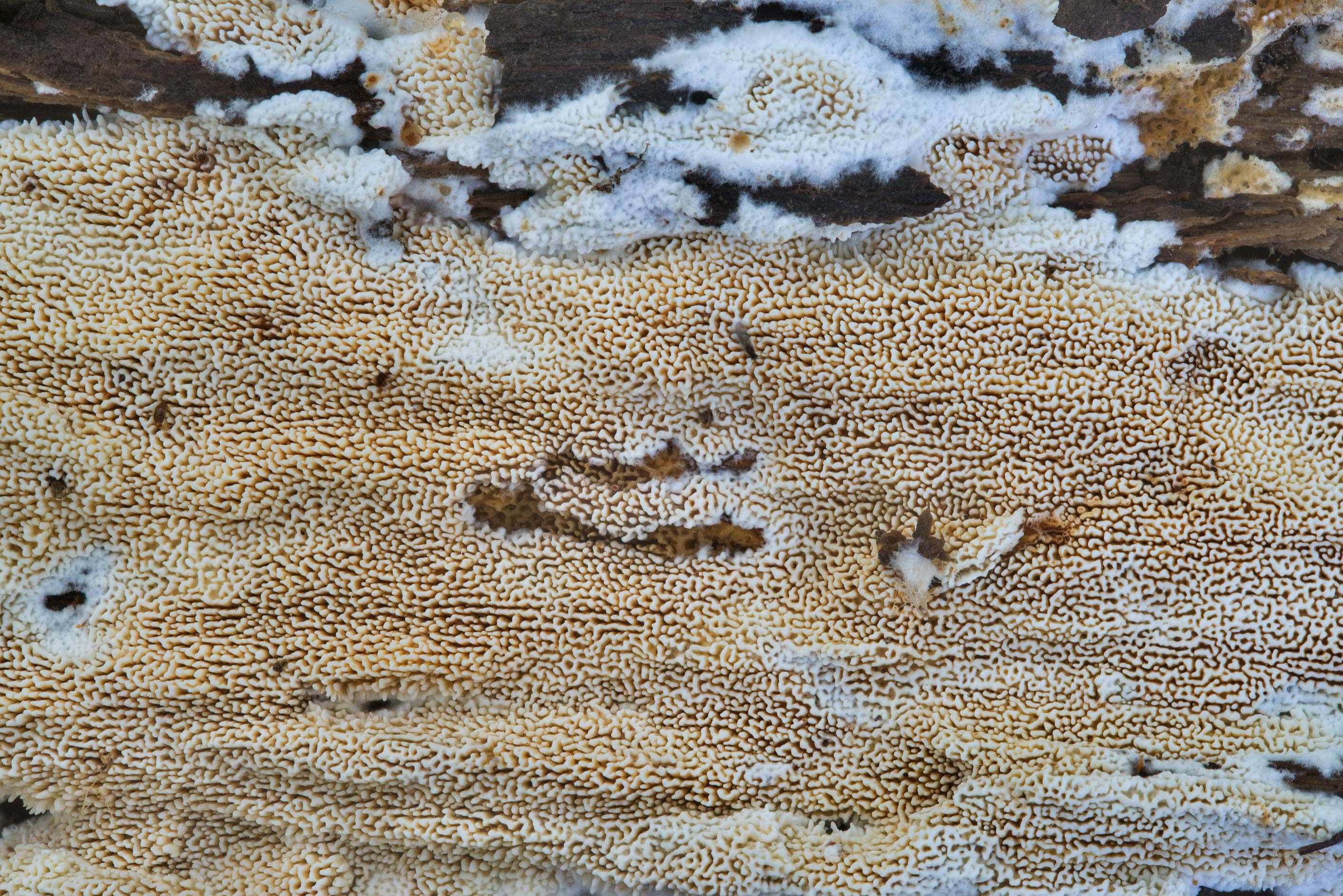 Pattern of crust fungus (Corticiaceae) on rotting...Creek Park. College Station, Texas