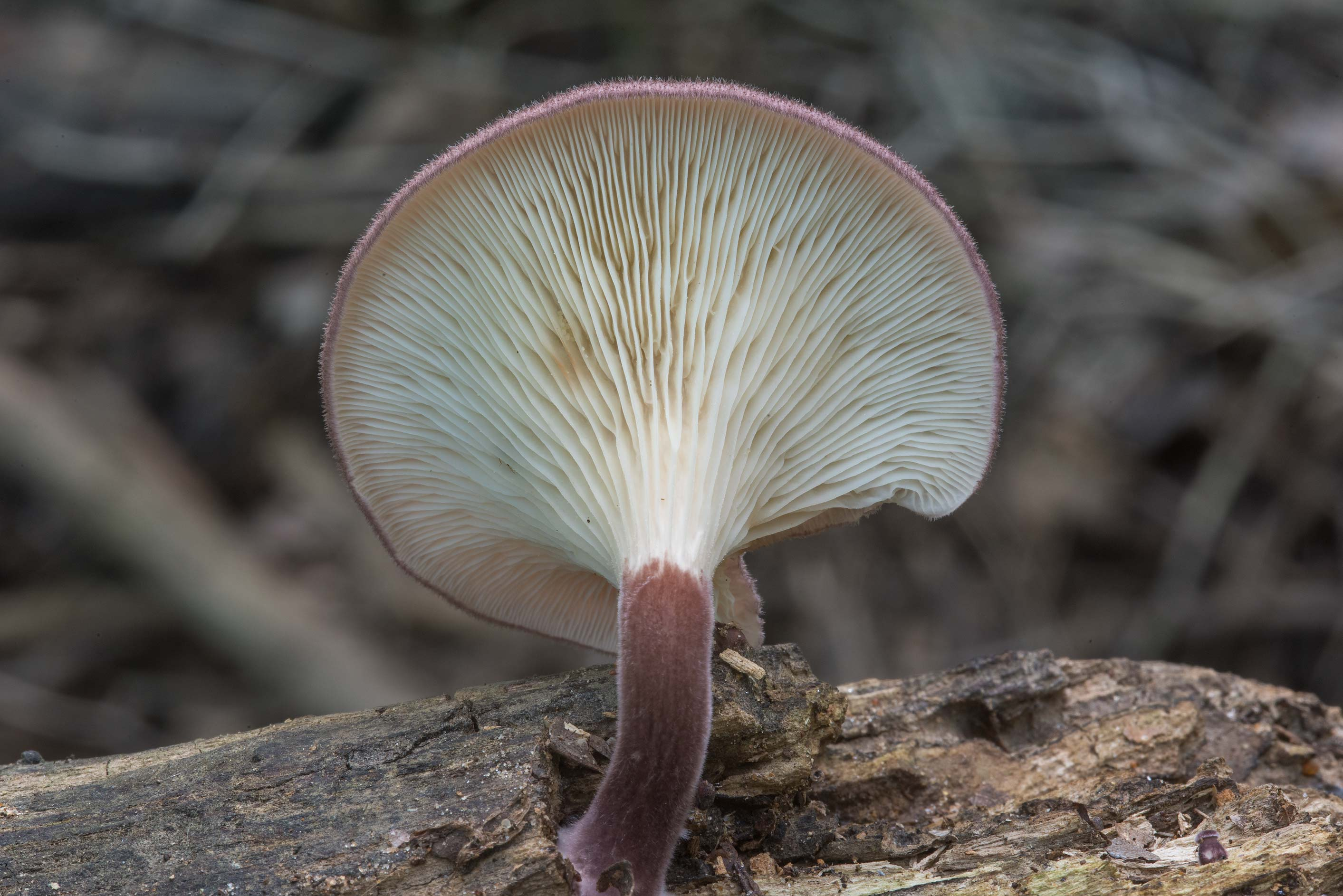 Panus strigellus mushroom on a stump in Lick Creek Park. College Station, Texas