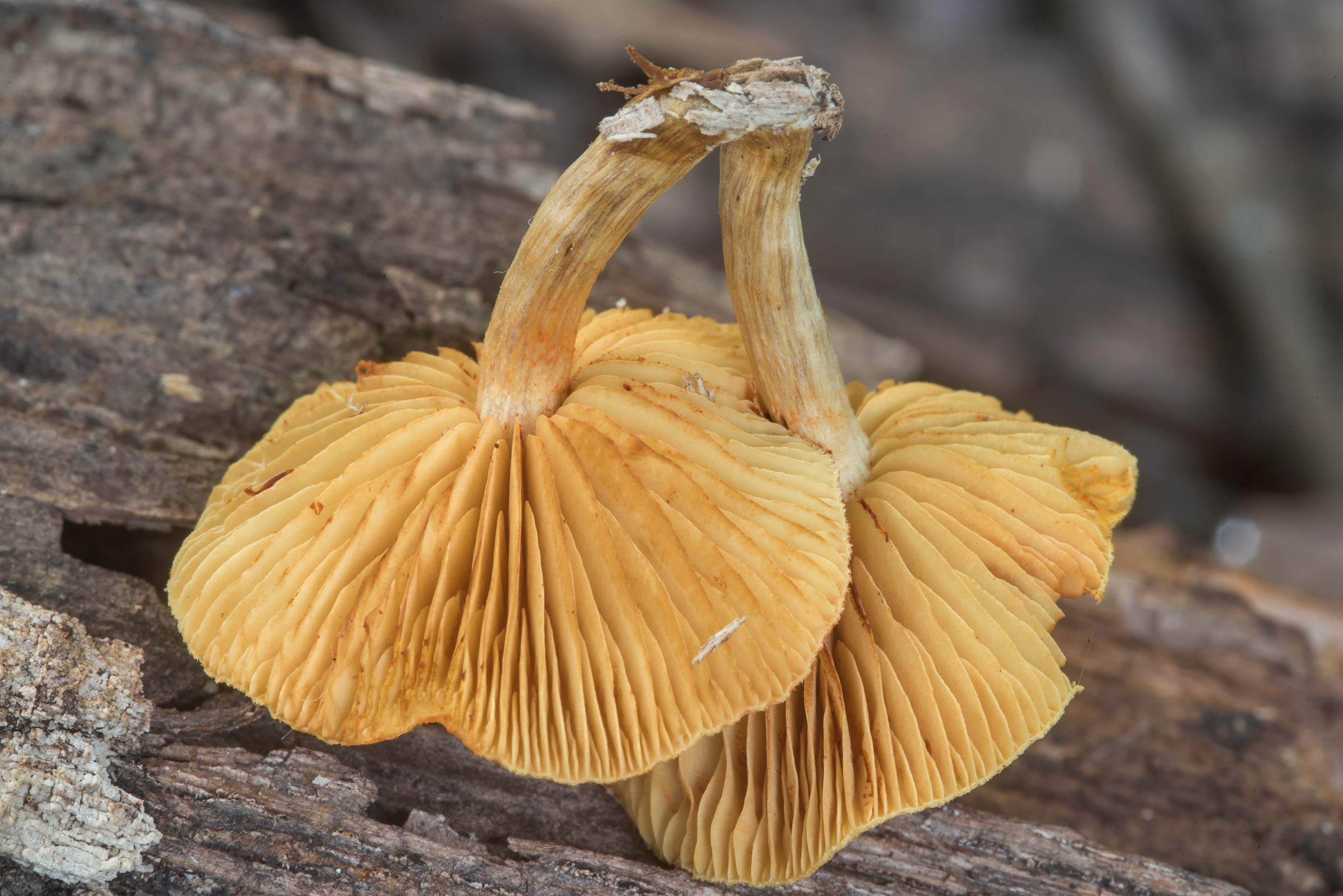 Gills of Gymnopilus mushrooms growing on a log in Lick Creek Park. College Station, Texas
