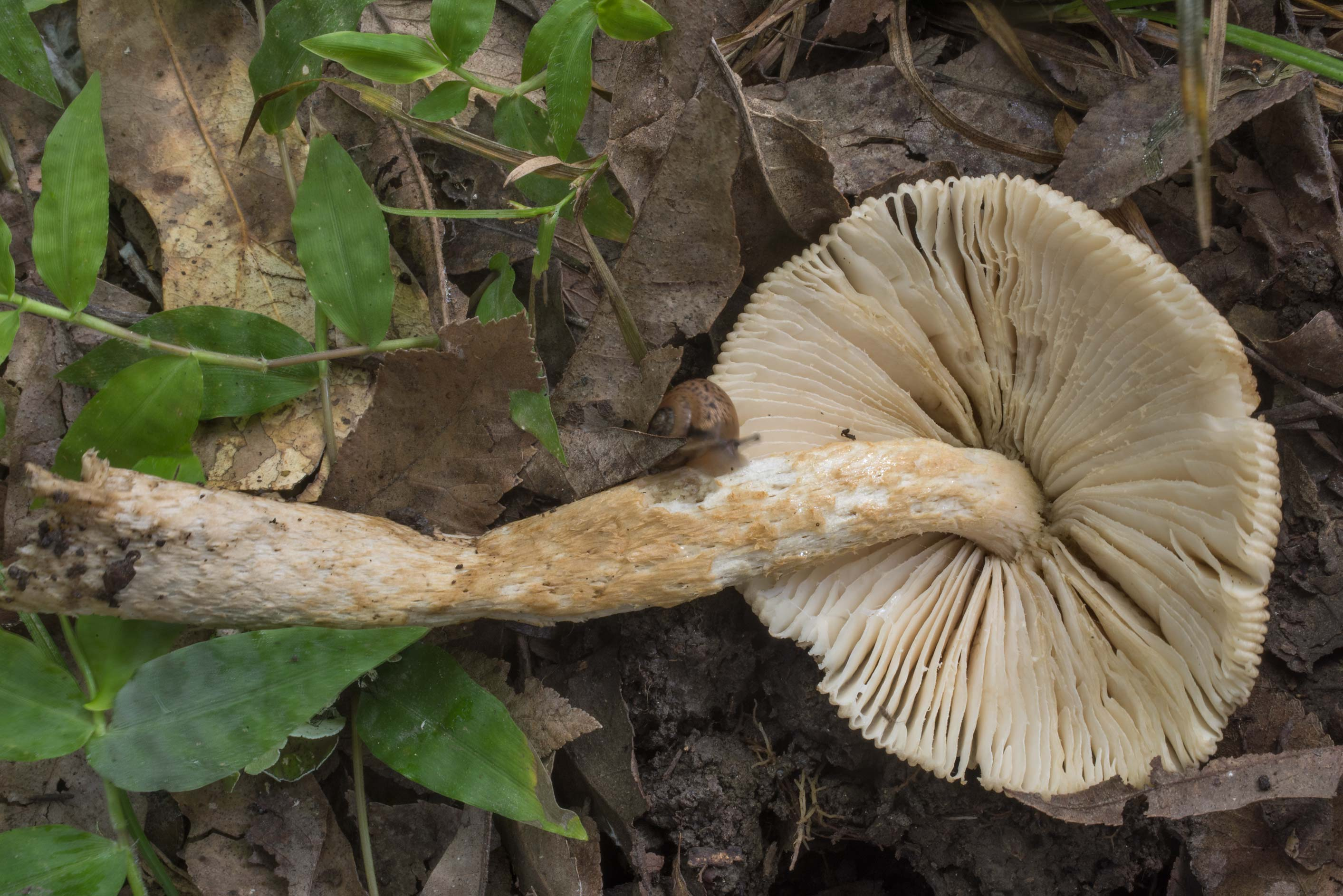 Gills of a grisette mushroom (Amanita sect...Creek Park. College Station, Texas