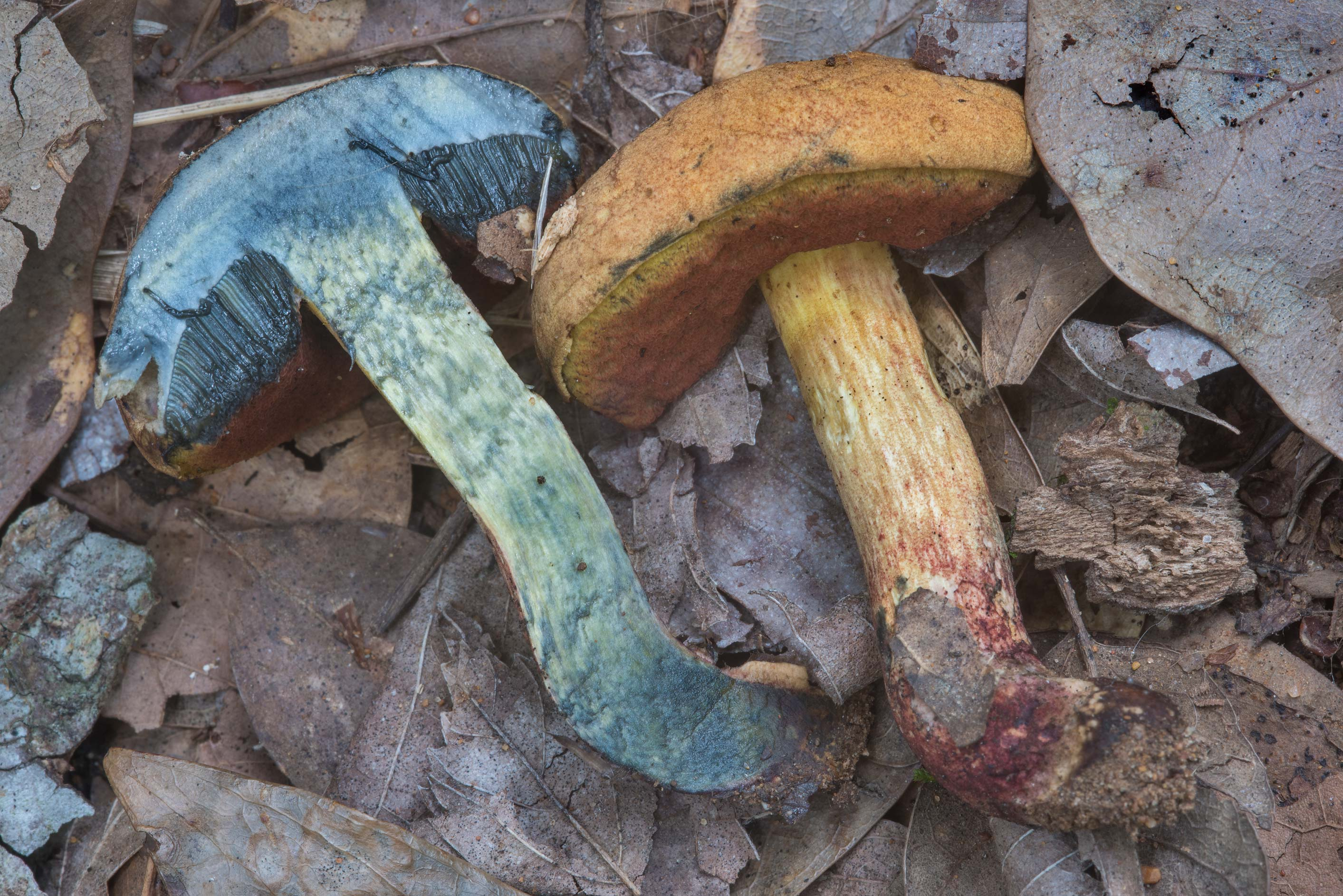 Dissected Hickory Bolete mushroom (Suillellus...Creek Park. College Station, Texas