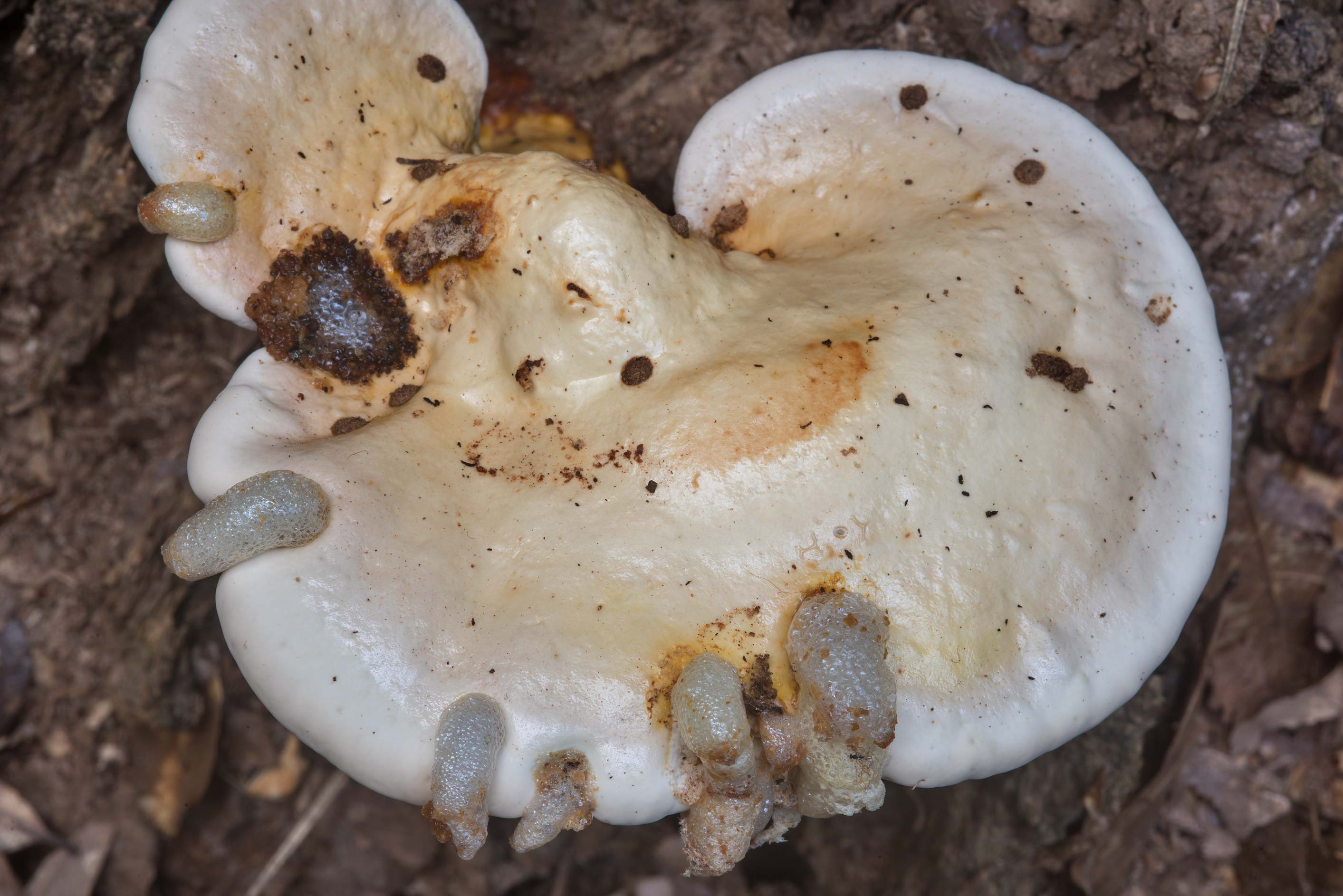 Polypore mushrooms Ganoderma curtisii growing at...Creek Park. College Station, Texas