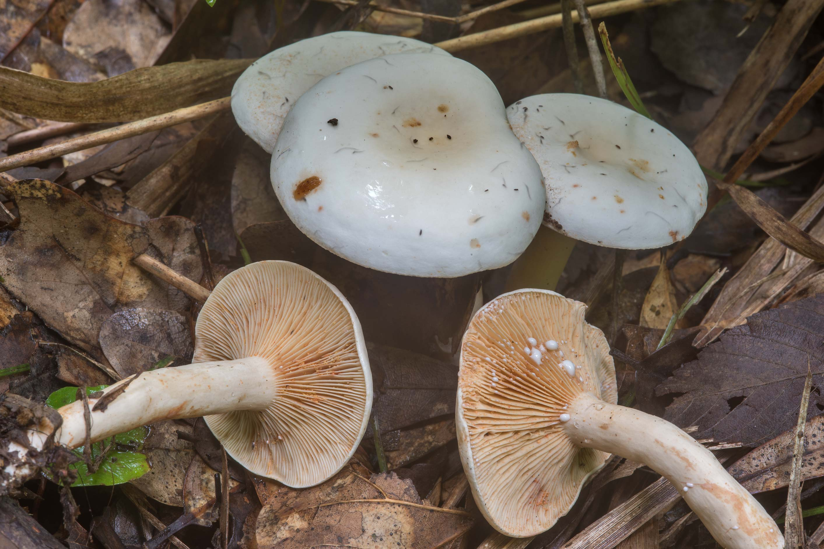 Group of milkcap mushrooms Lactarius subvernalis...Creek Park. College Station, Texas