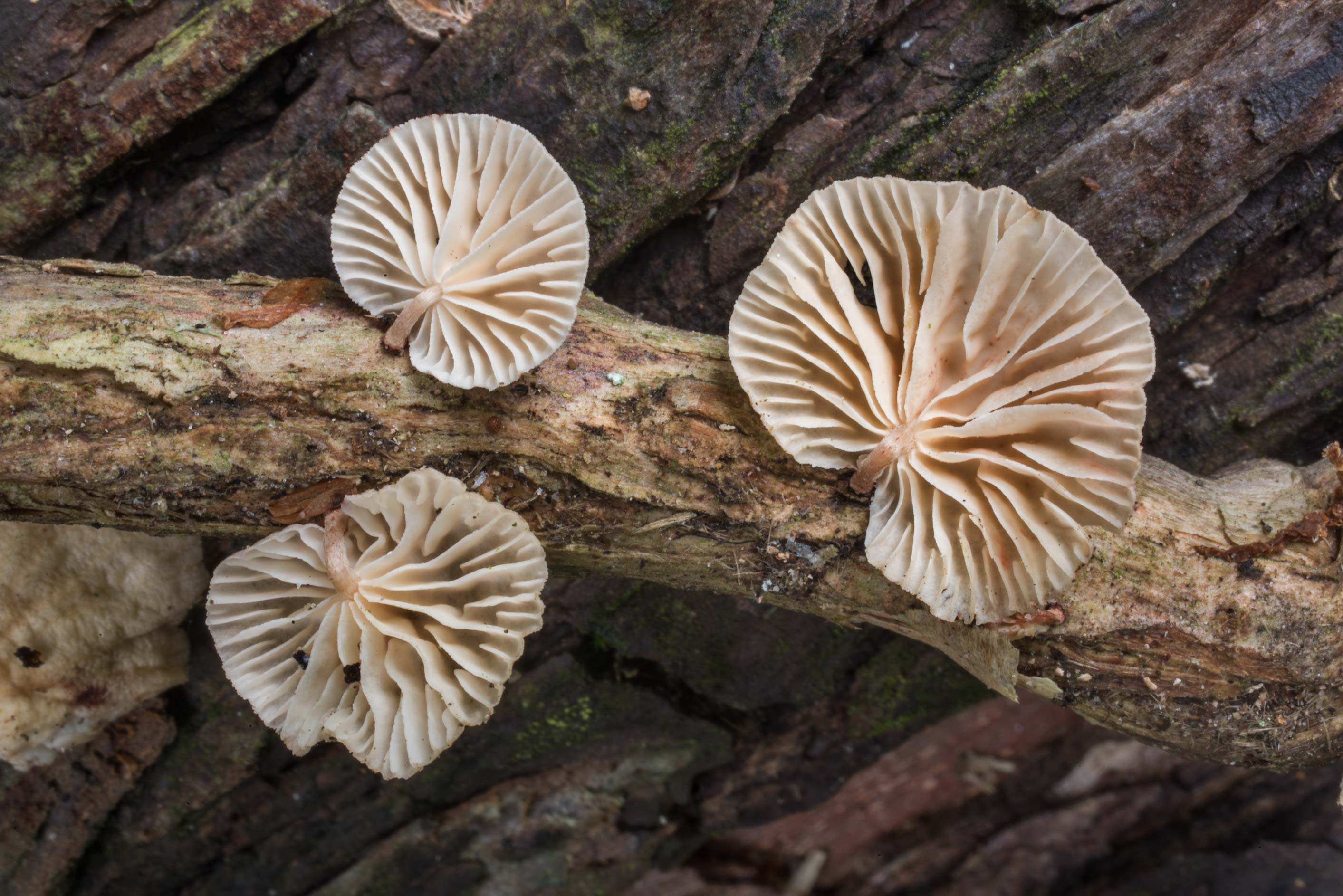 Gills of Marasmiellus subsect. Inodermini...Creek Park. College Station, Texas