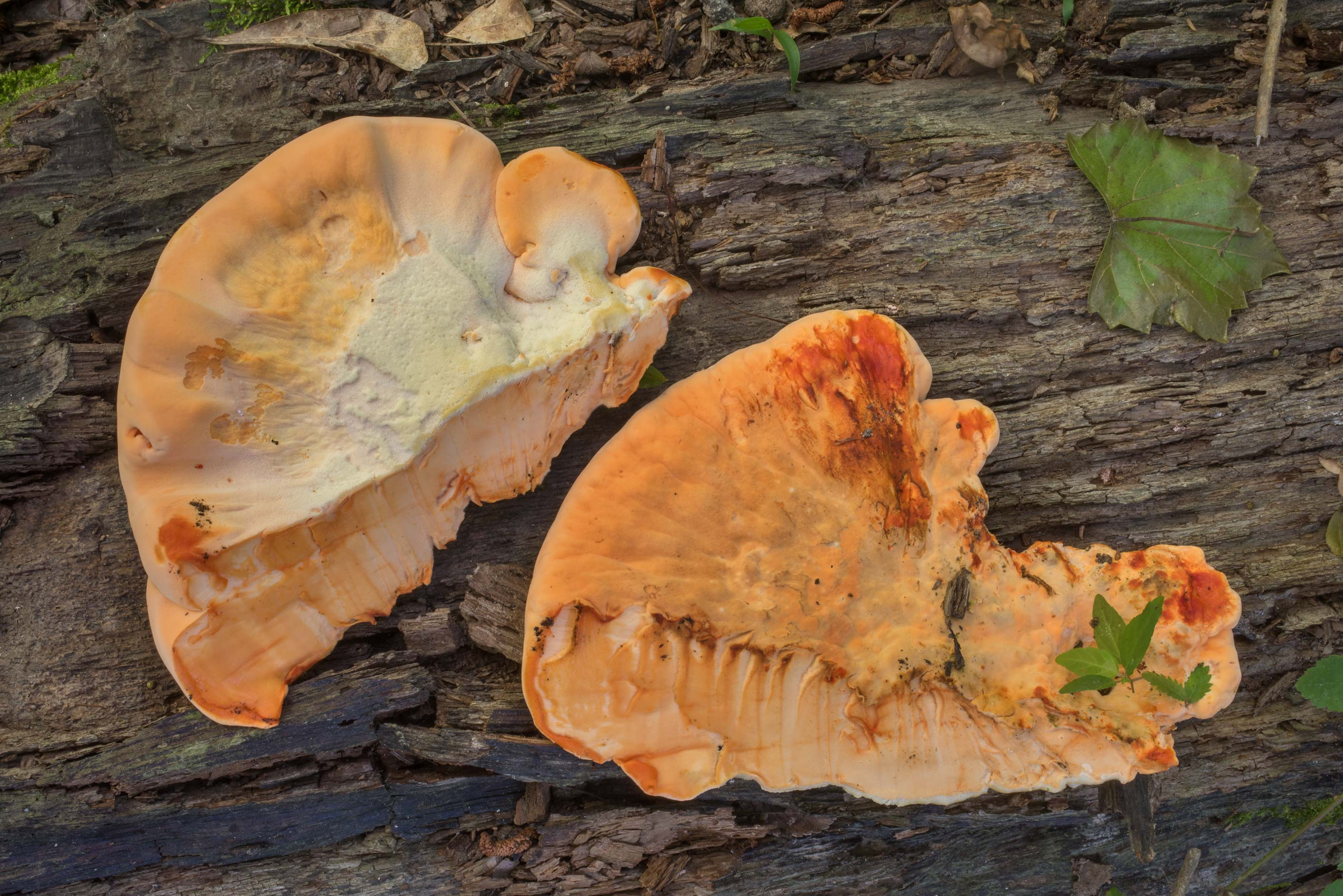 Dossected chicken of the woods mushroom...Forest, near Huntsville. Texas