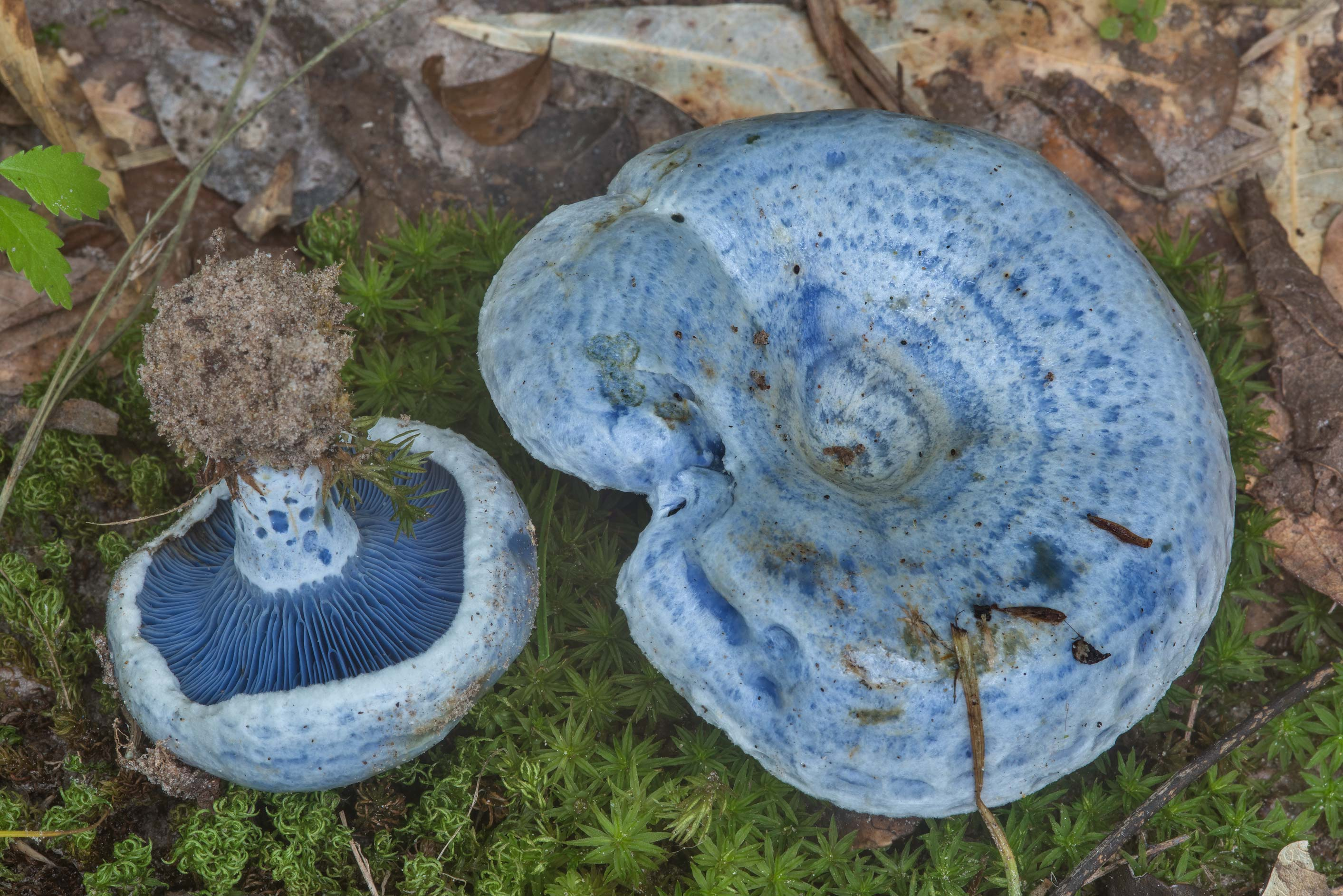 Pair of blue milkcap mushrooms (Lactarius indigo...Creek Park. College Station, Texas