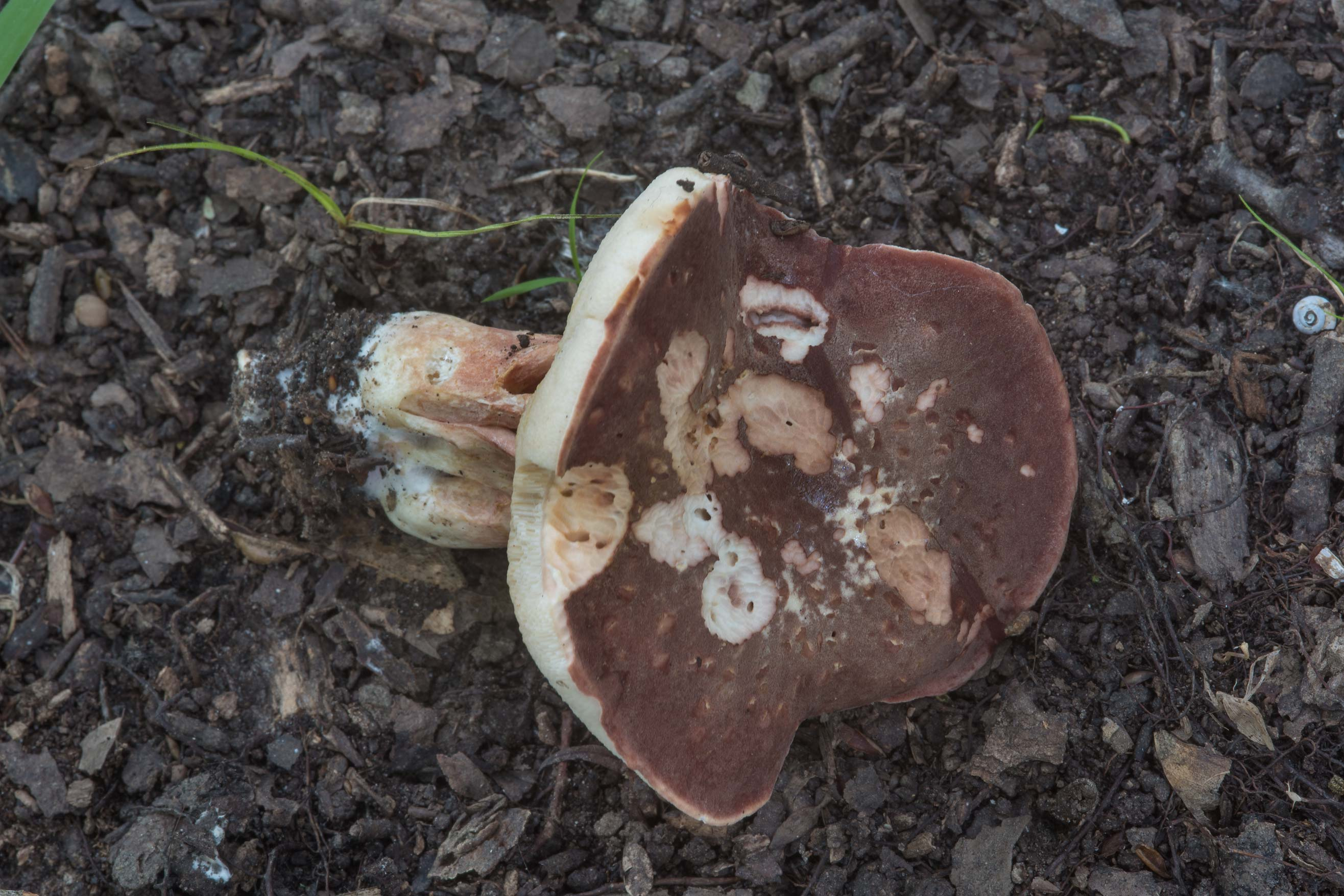 Bolete mushroom Xanthoconium purpureum in Lick Creek Park. College Station, Texas