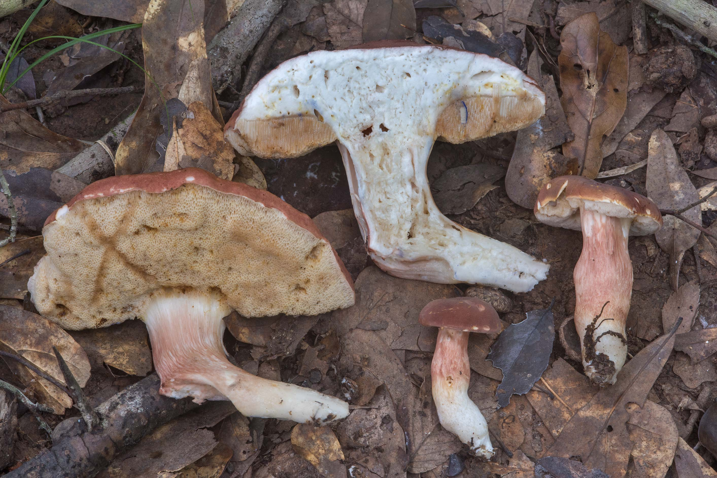 Dissected bolete mushrooms Xanthoconium purpureum...Creek Park. College Station, Texas