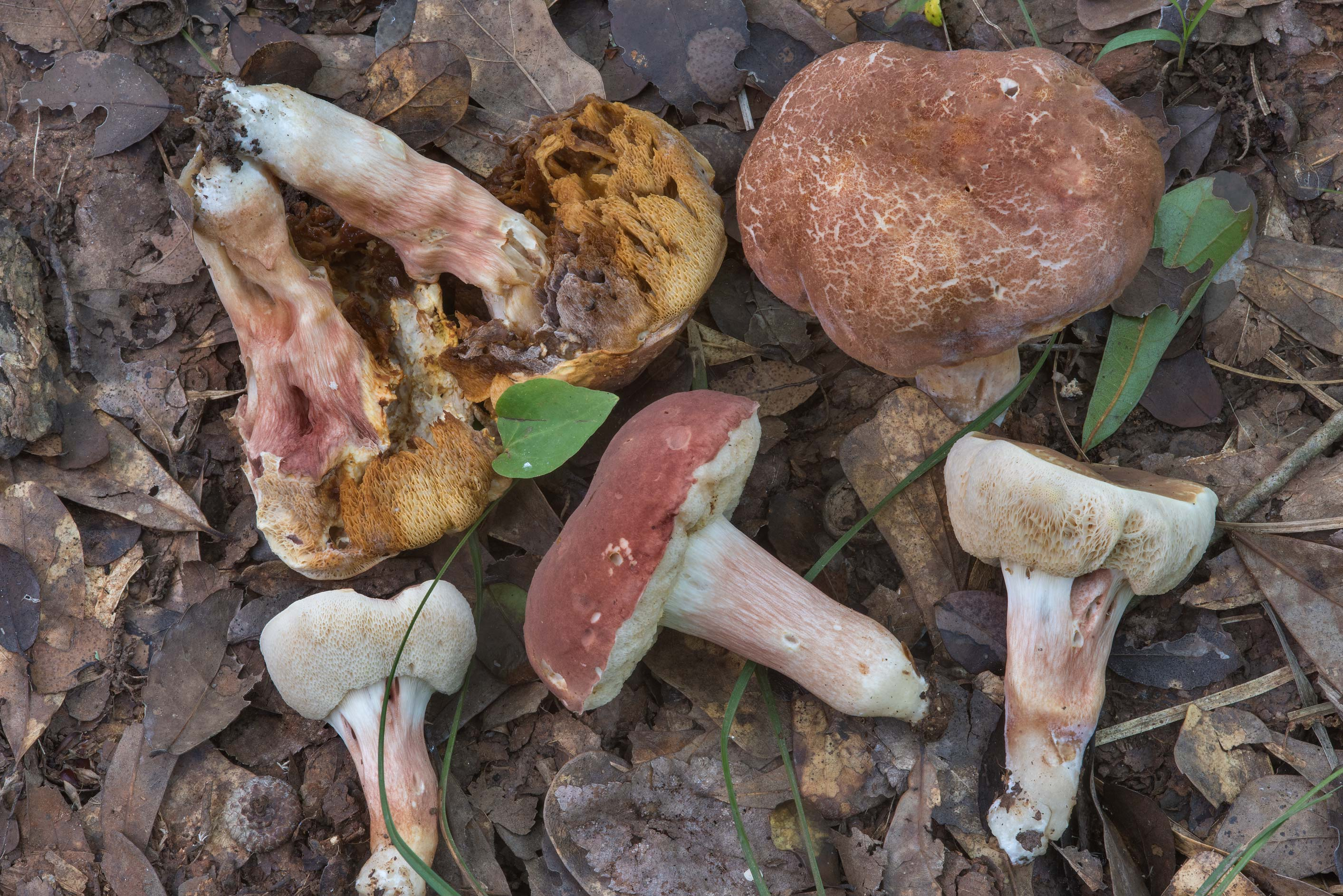 Group of bolete mushrooms Xanthoconium purpureum...Creek Park. College Station, Texas