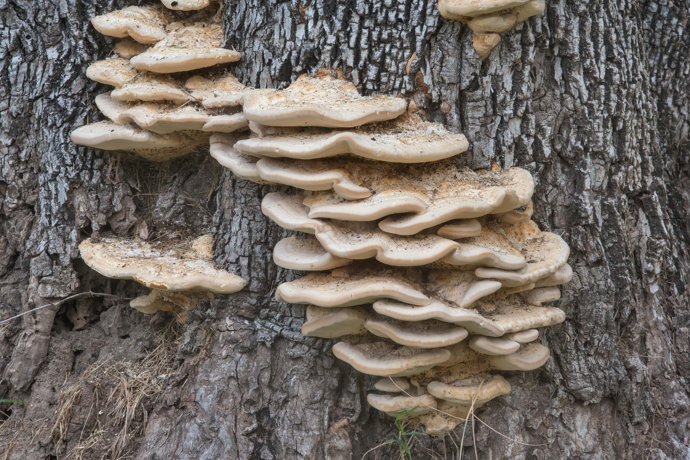 Bracket polypore mushrooms Trametes elegans at...Bee Creek Park. College Station, Texas
