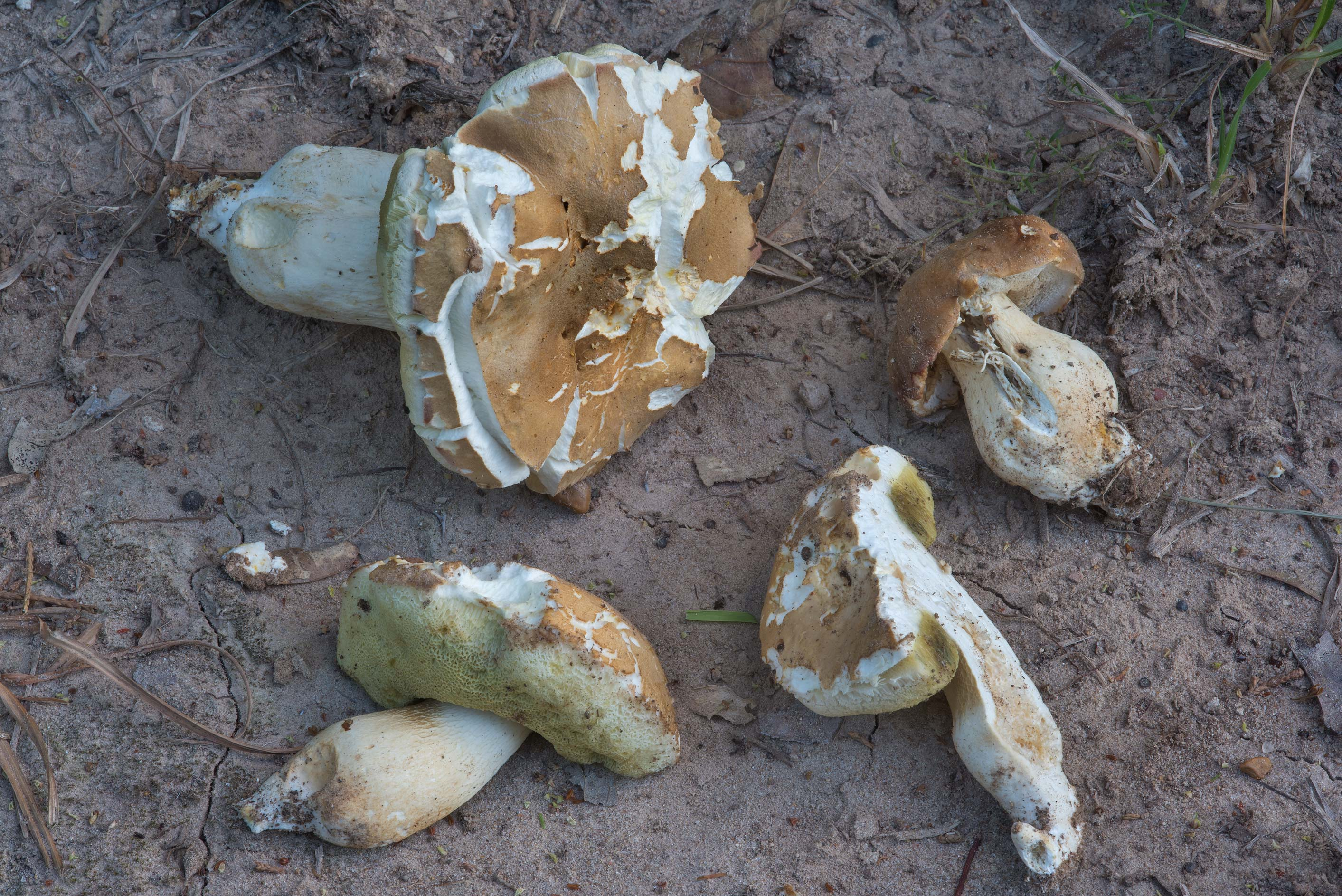 Group of porcini bolete mushrooms (Boletus edulis...Creek Park. College Station, Texas