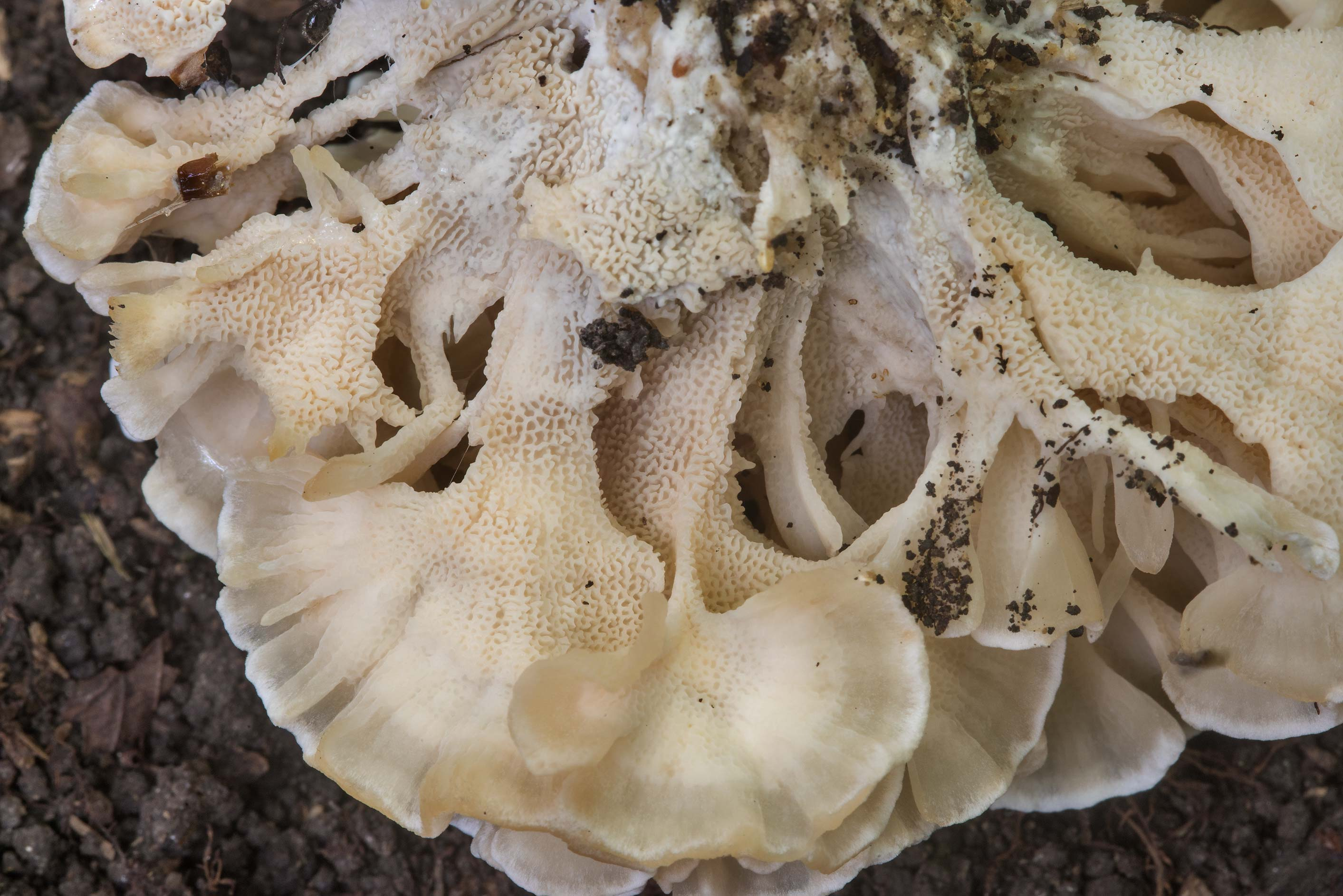 Pores of Hydnopolyporus palmatus mushroom in Lick Creek Park. College Station, Texas