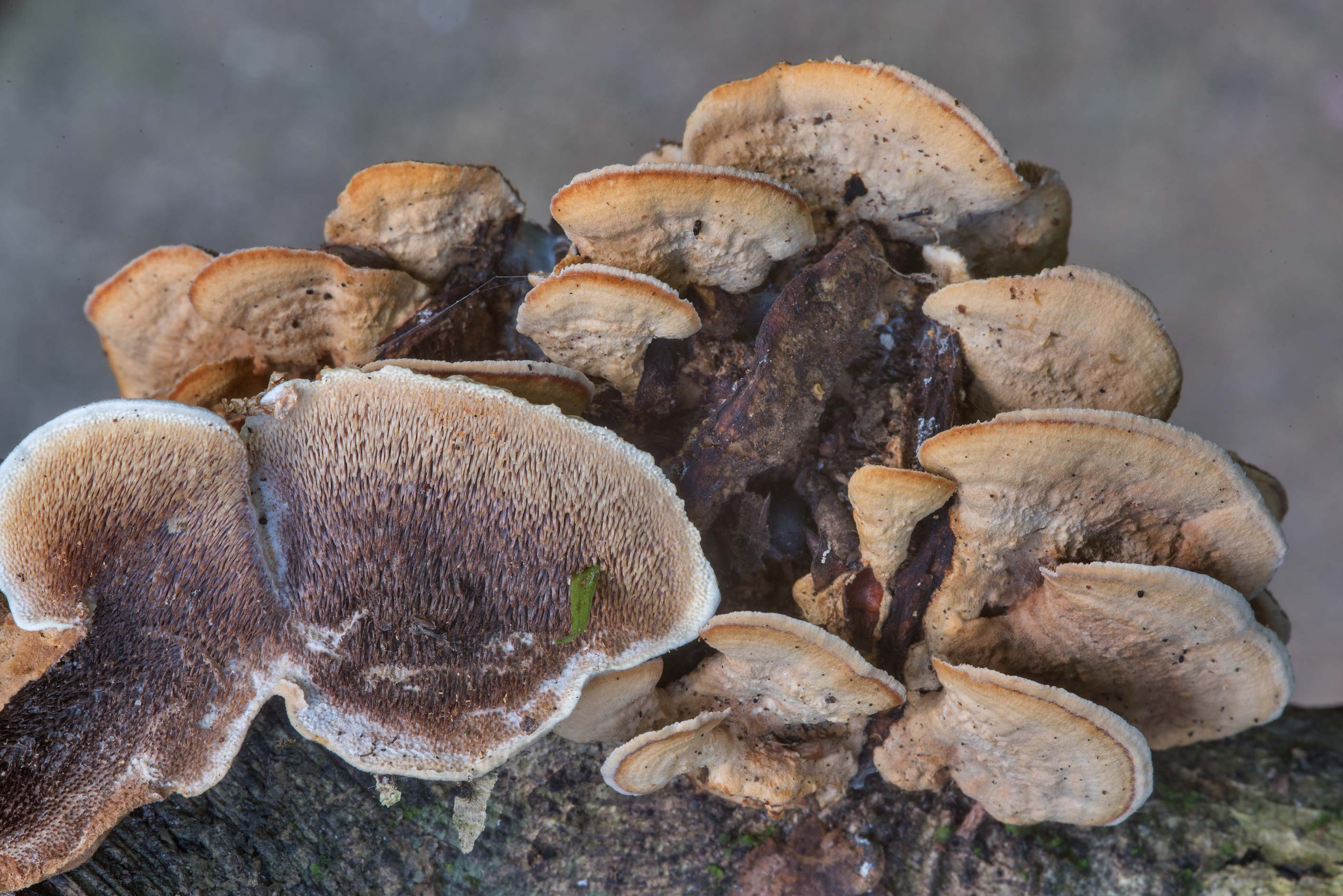Toothed polypore mushrooms Mycorrhaphium adustum...Creek Park. College Station, Texas