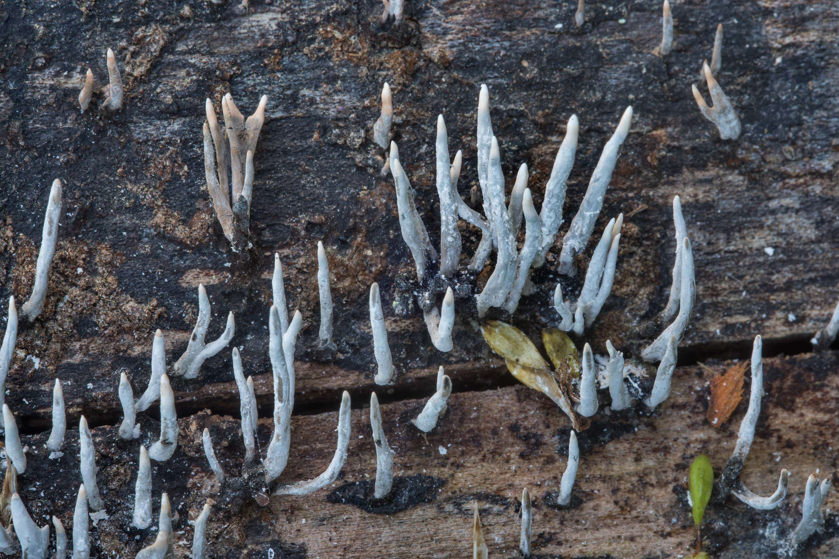 Close up of candlesnuff fungus (Xylaria hypoxylon...Creek Park. College Station, Texas