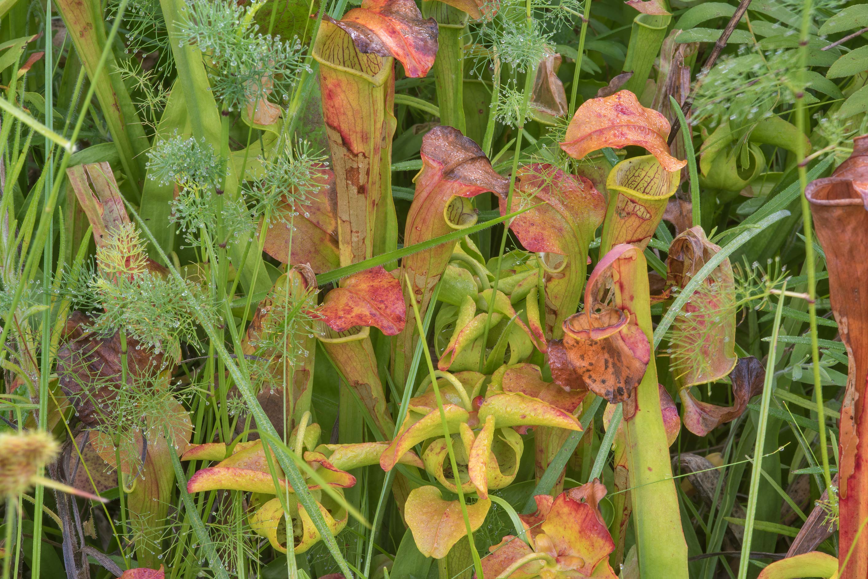Pitcher plant (Sarracenia alata) near a pond in...Native Plant Preserve. Warren, Texas