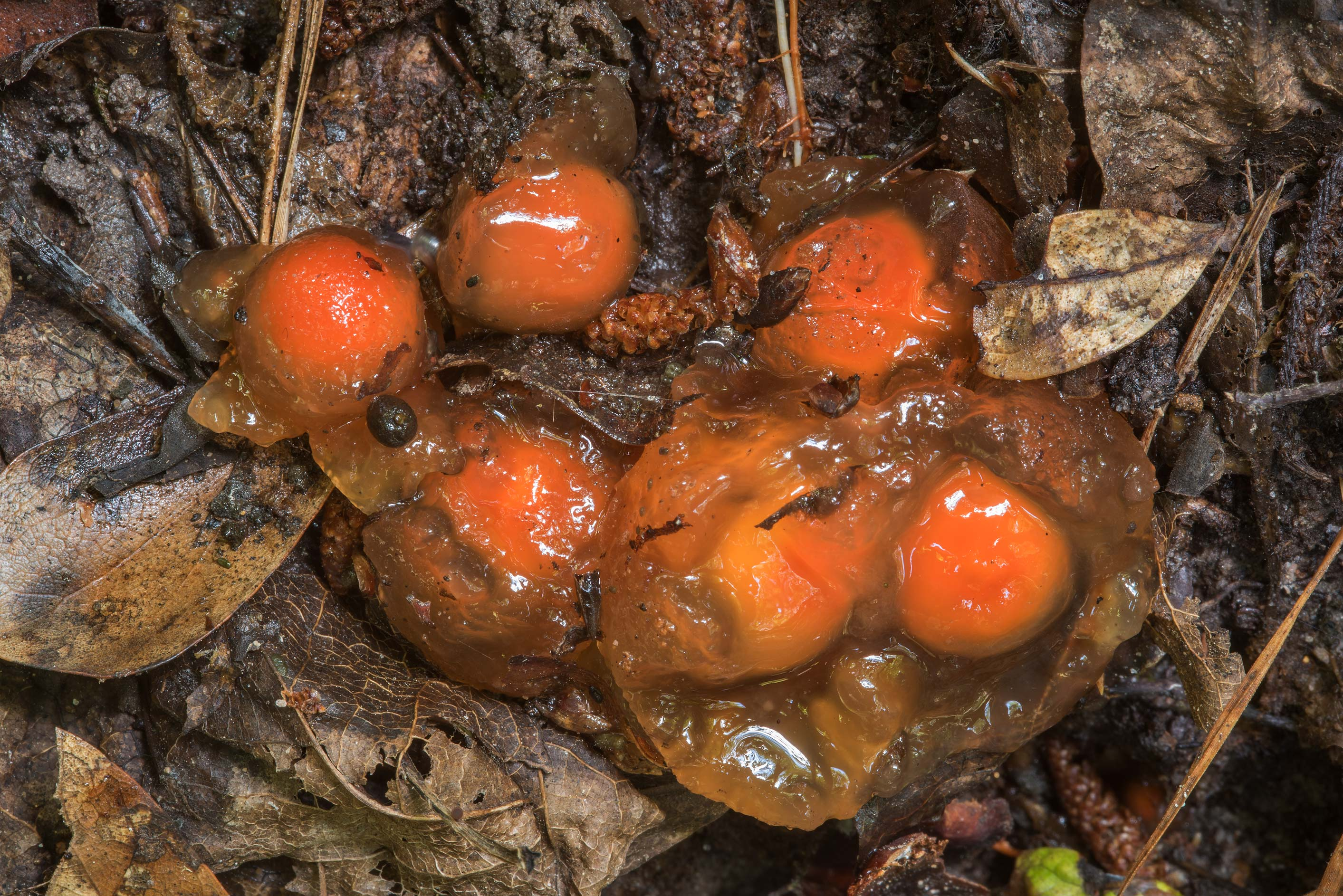 Stalked puffball-in-aspic mushrooms (Calostoma...National Preserve. Kountze, Texas