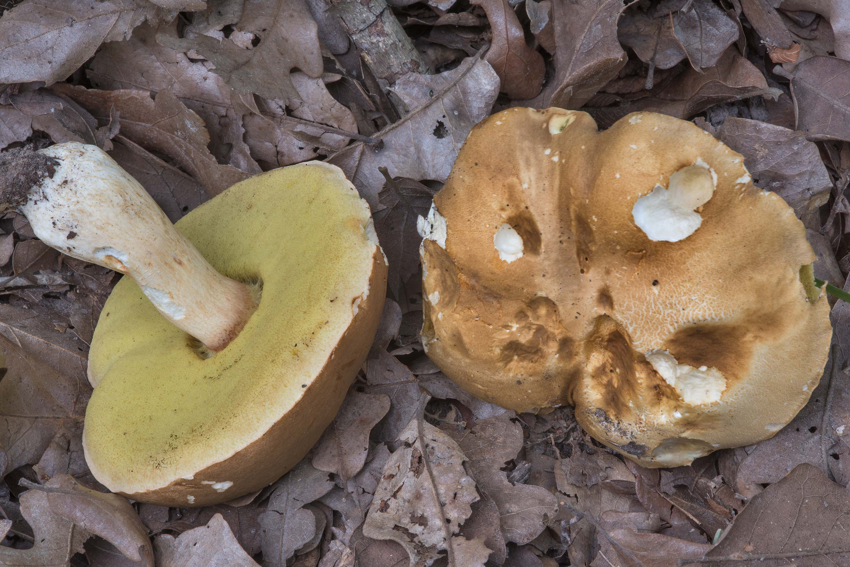 Porcini bolete mushrooms (Boletus edulis group...Creek Park. College Station, Texas