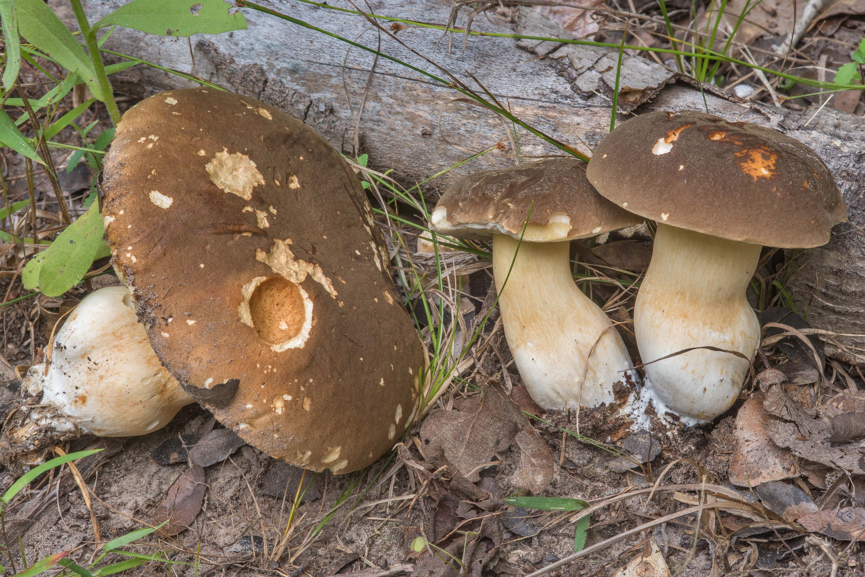 Brown caps of porcini bolete mushrooms of Boletus...Creek Park. College Station, Texas