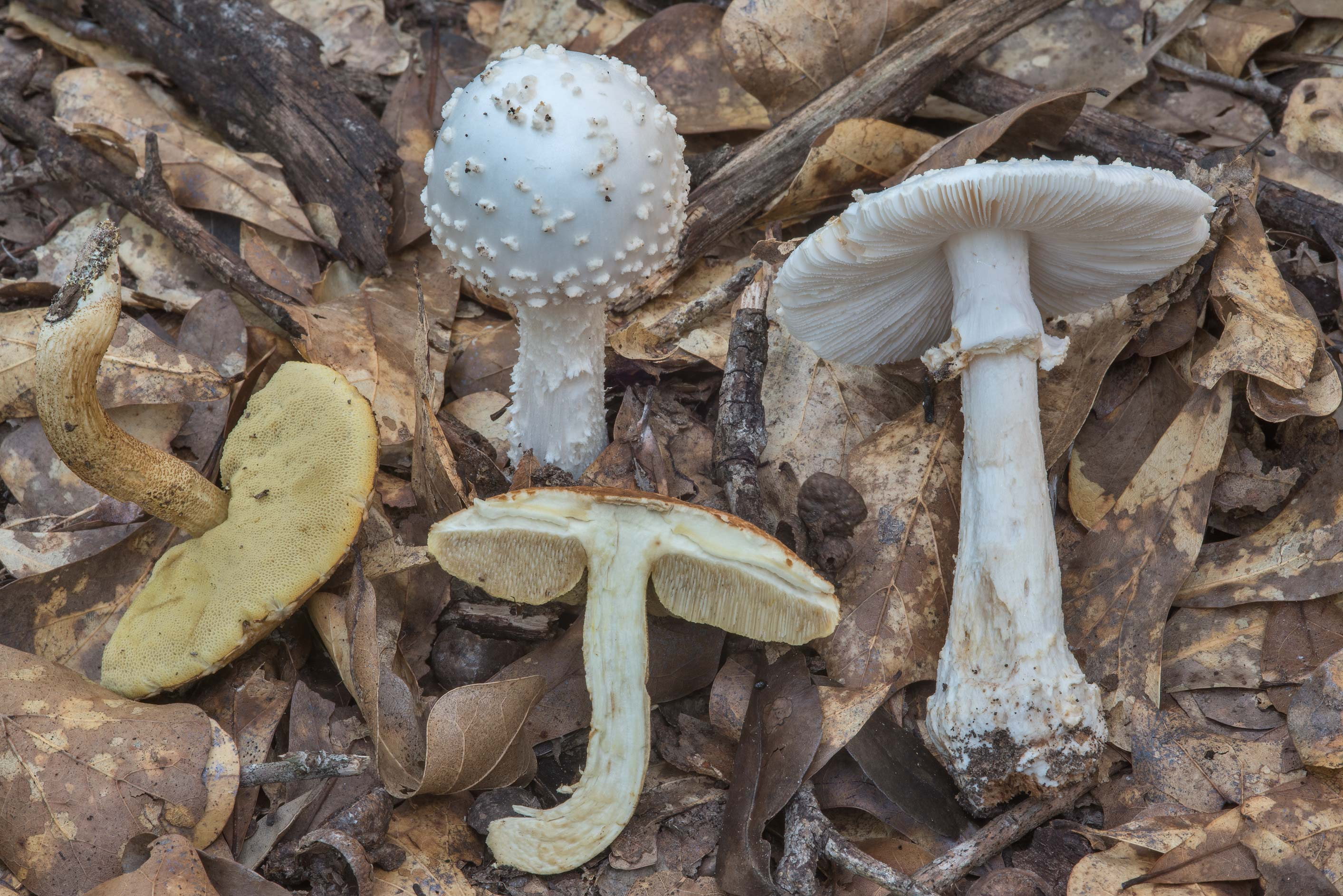 Some white Amanita mushrooms together with...Creek Park. College Station, Texas