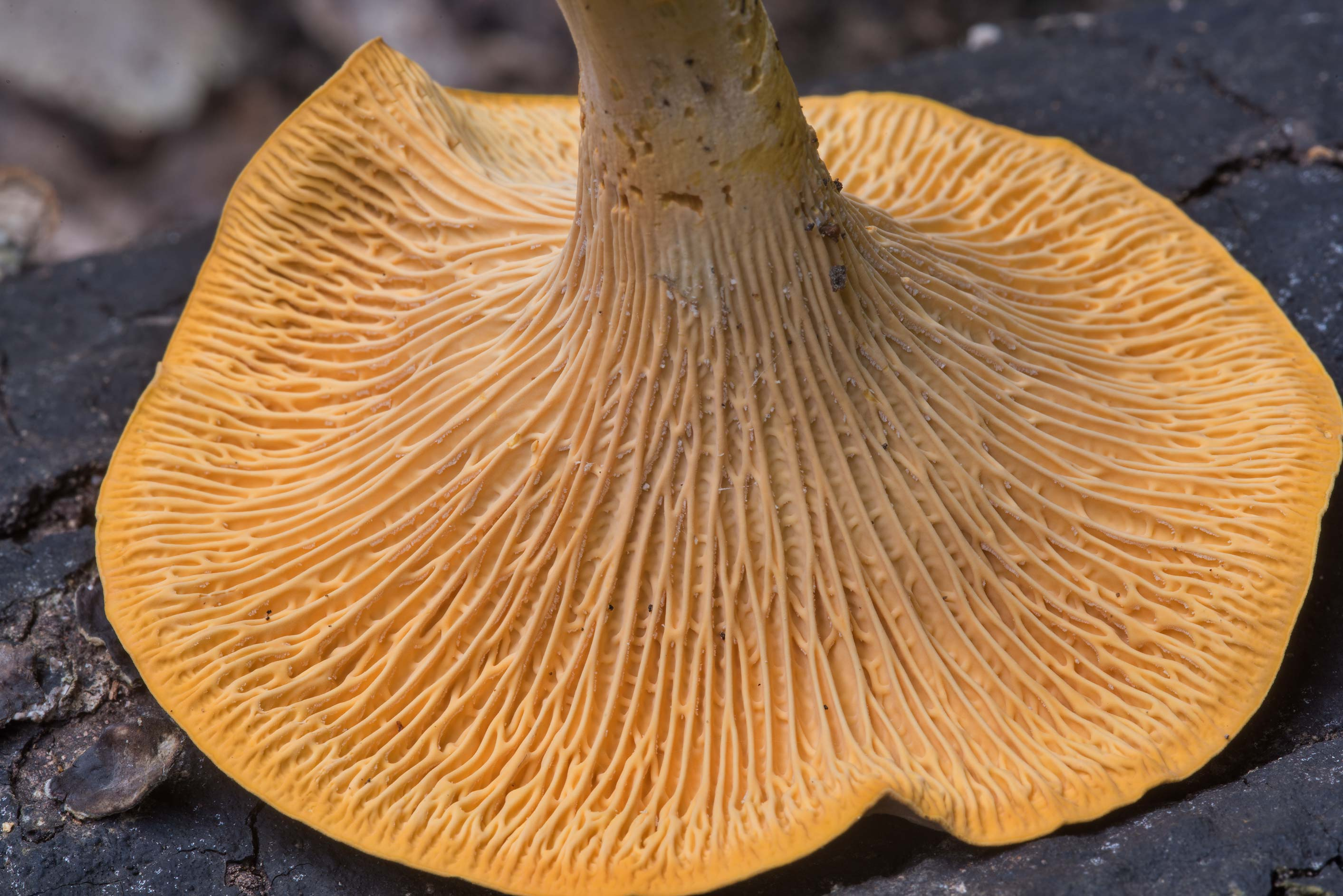 Gills of a large chanterelle mushroom...Creek Park. College Station, Texas