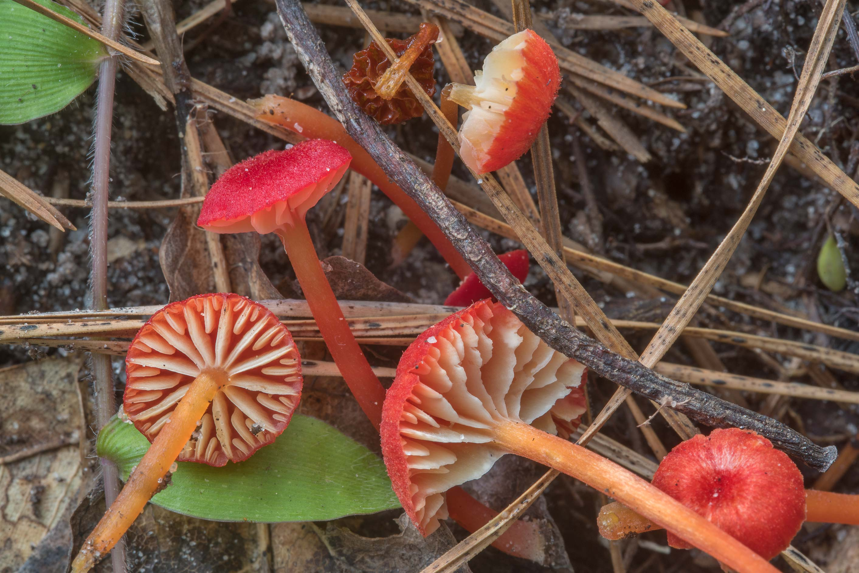 Small bright red waxcap mushrooms Hygrocybe...National Forest near Huntsville, Texas