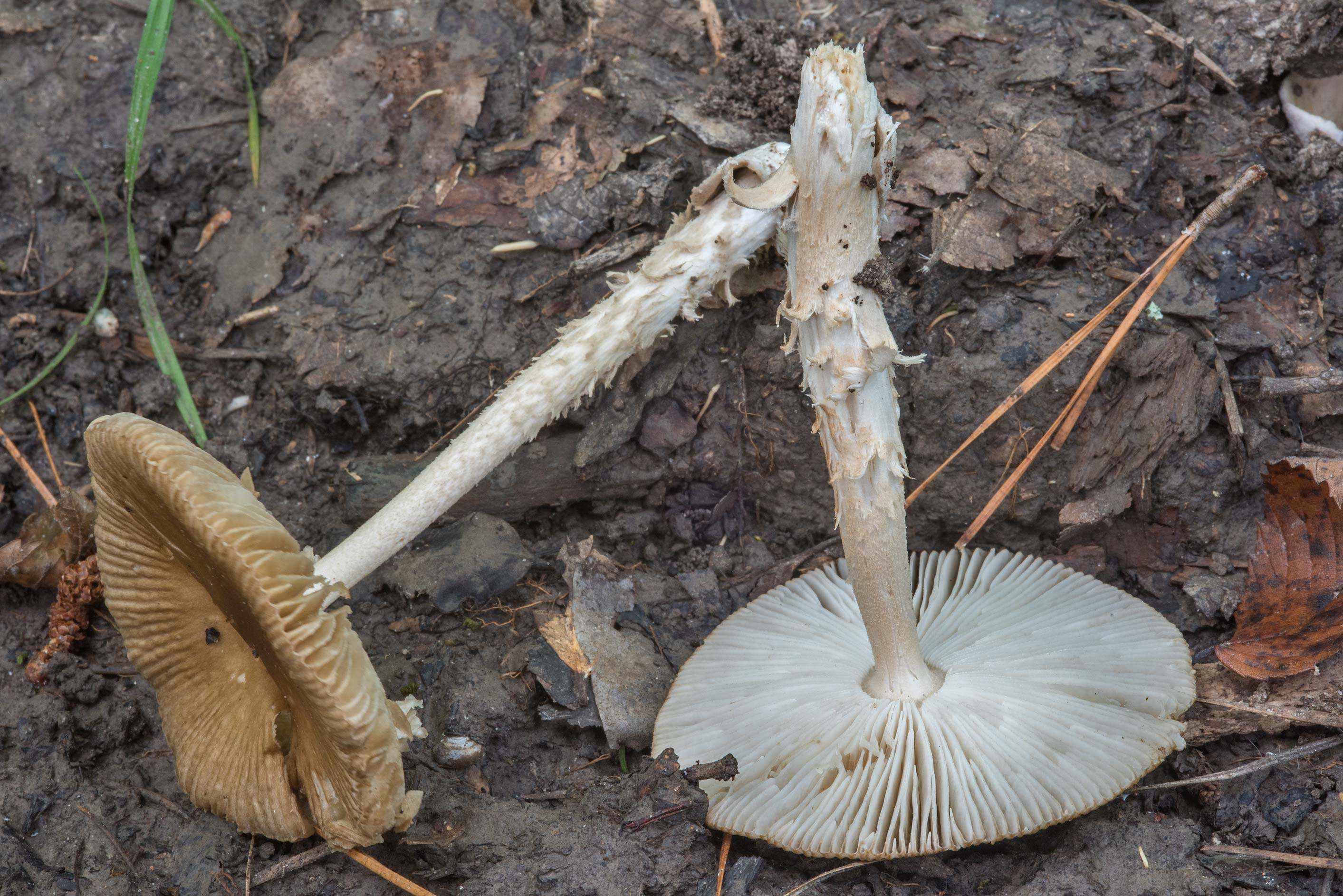 Gills of grisette mushrooms (Amanita sect...Forest, near Huntsville. Texas