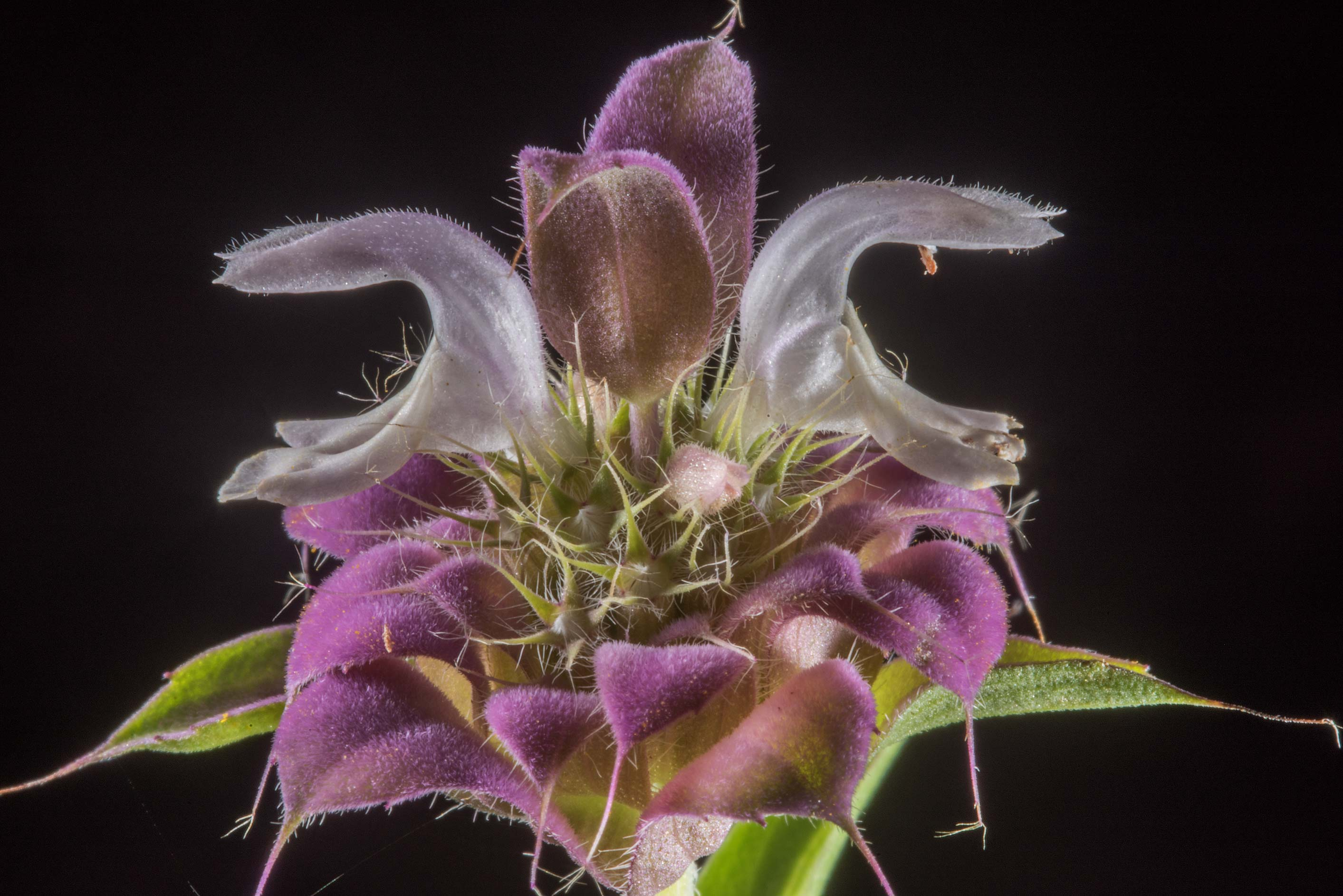Flowers of beebalm (Monarda punctata) in David E...Ashburn St.. College Station, Texas