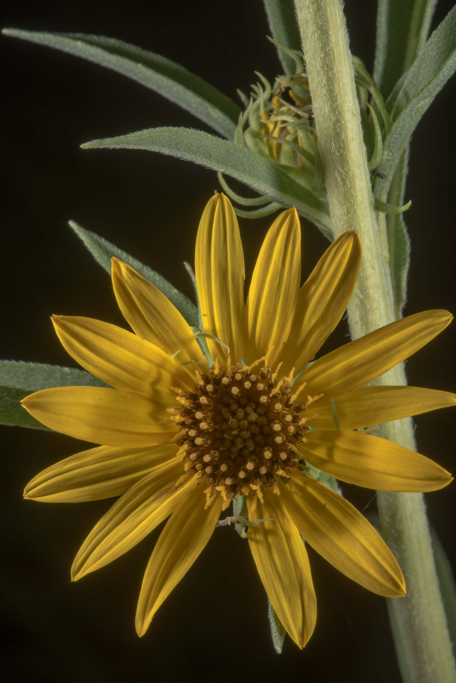 Yellow flower of aster family in David E. Schob...Ashburn St.. College Station, Texas