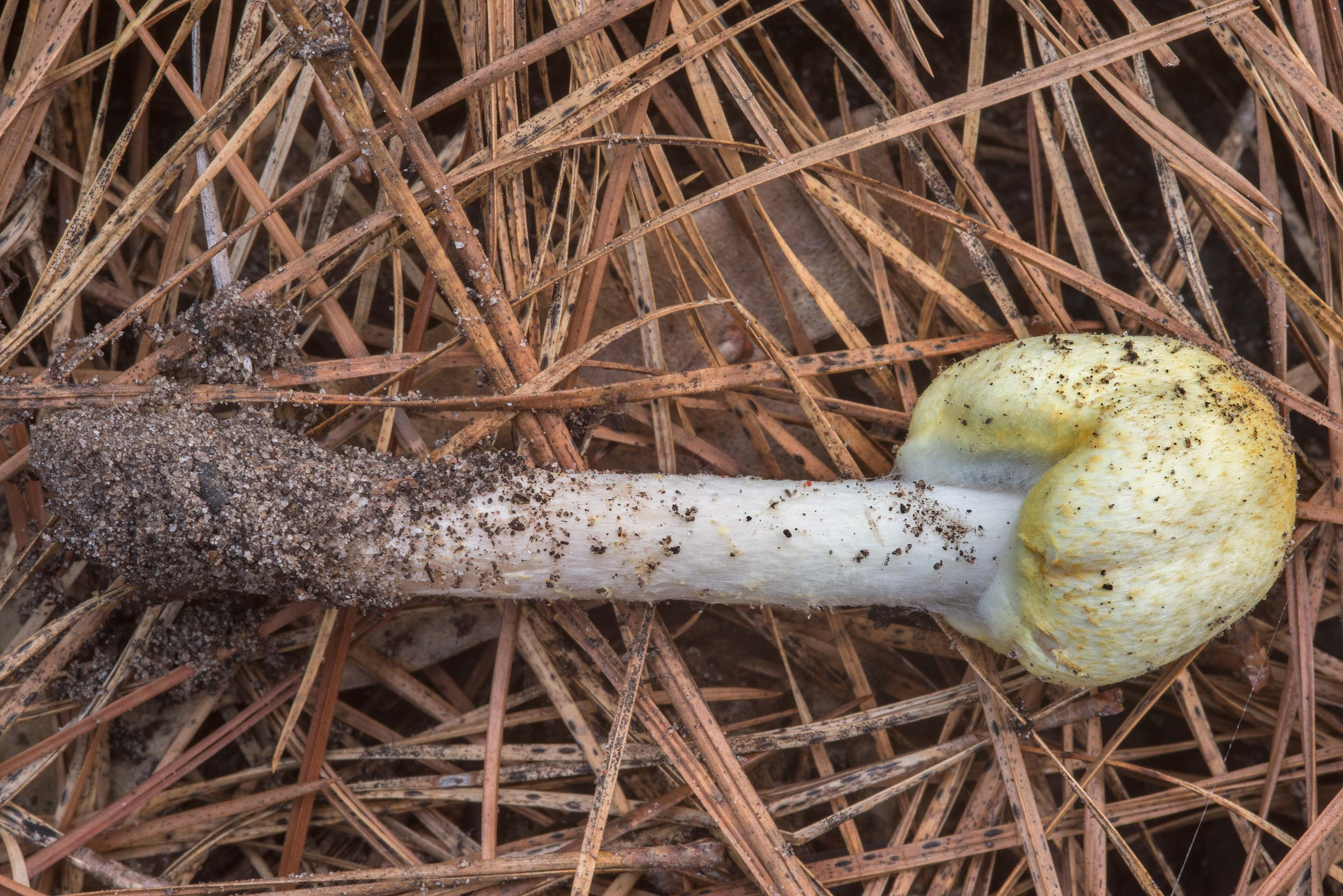 Agaricus auricolor mushroom in a pine forest on...National Forest near Huntsville, Texas