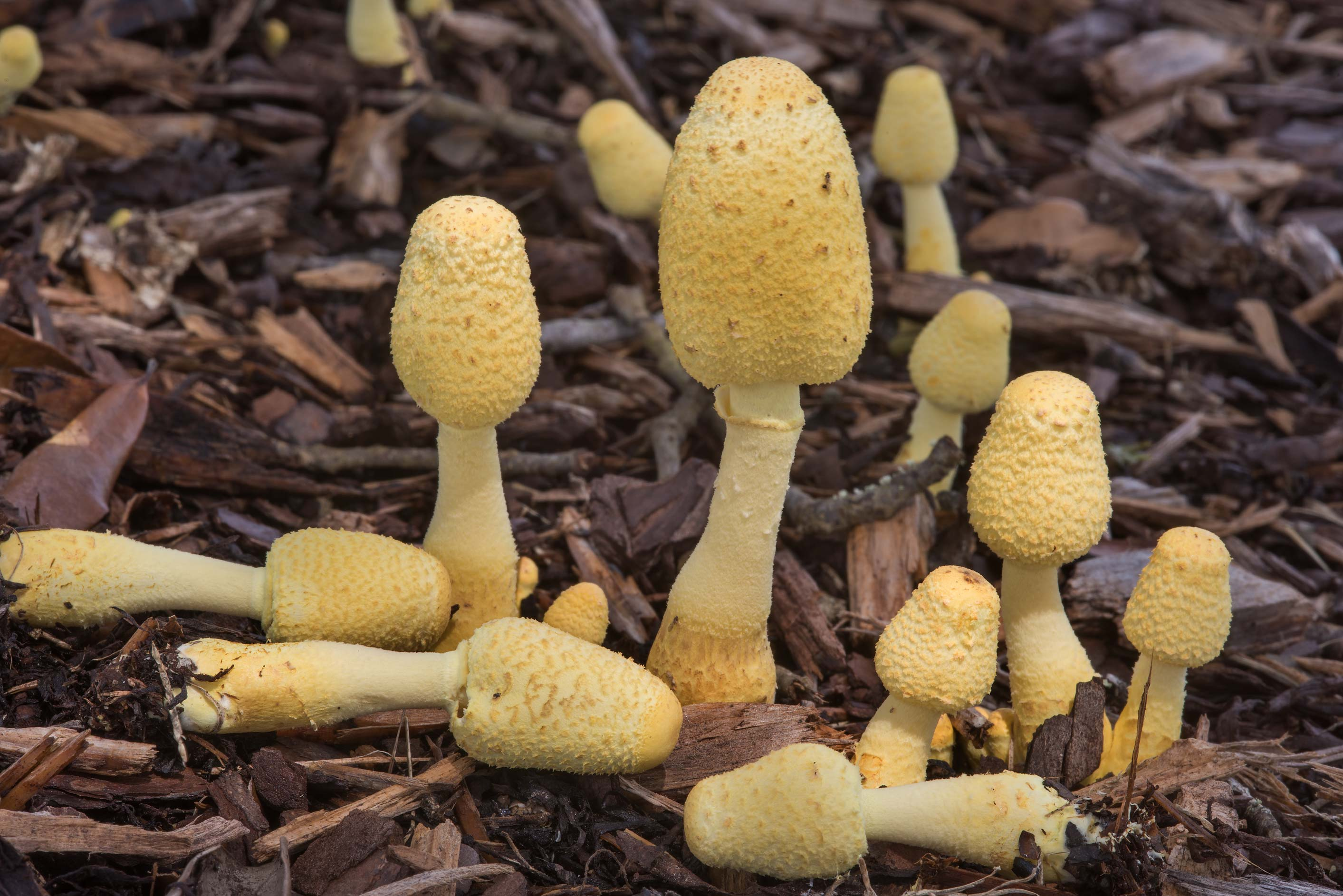 Yellow pot-plant mushrooms (Leucocoprinus...M University. College Station, Texas