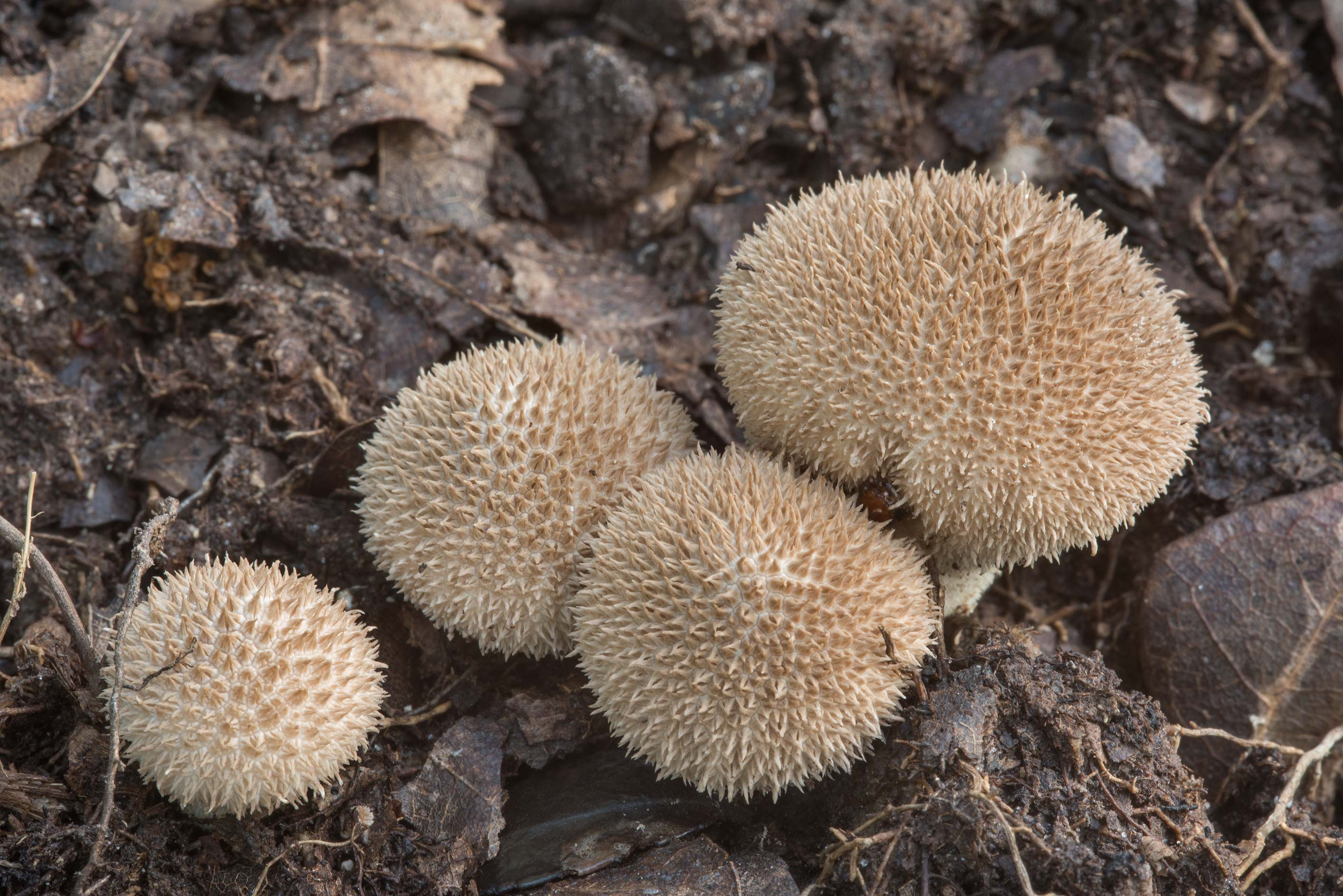 Group of puffball mushrooms Lycoperdon americanum...Creek Park. College Station, Texas