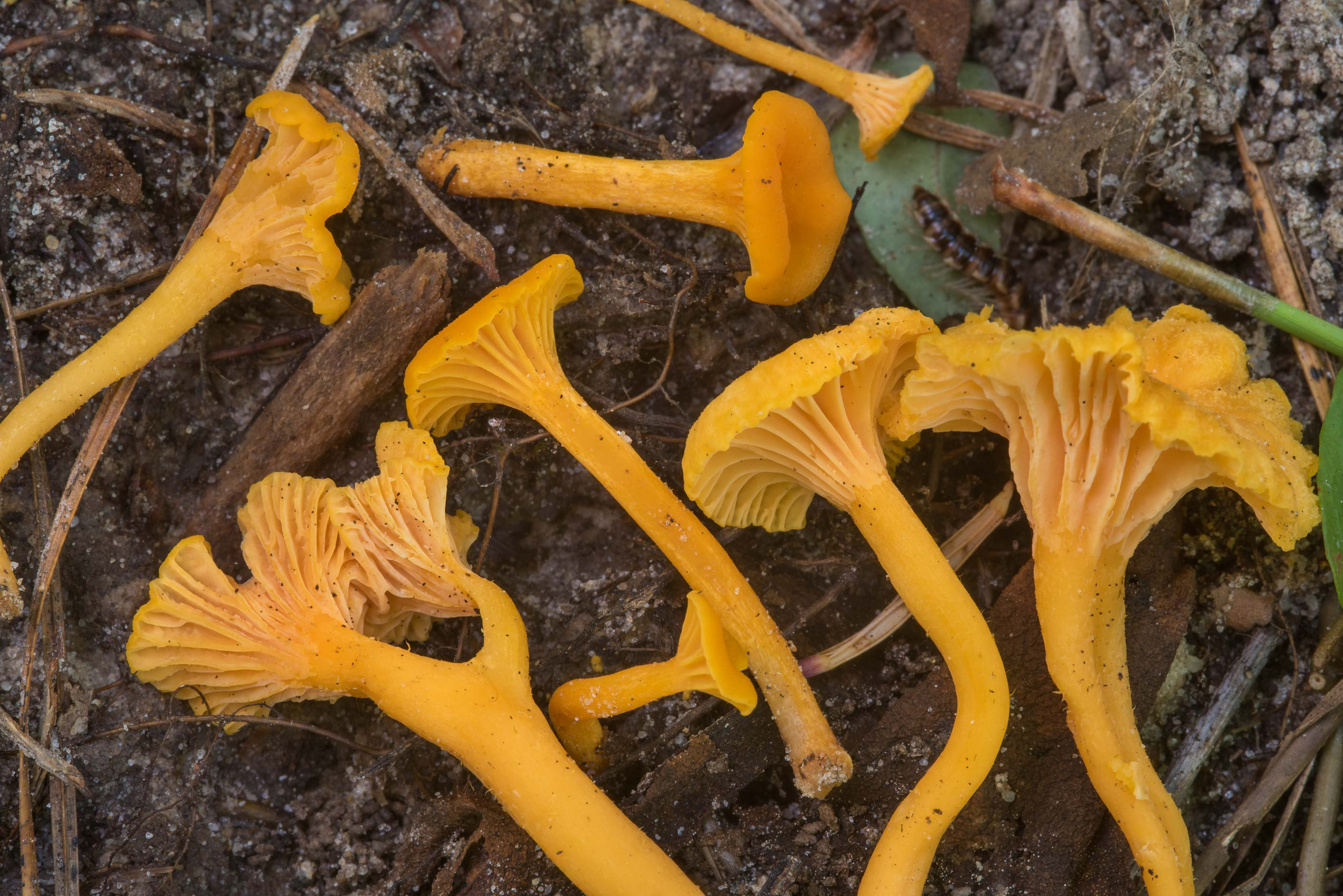 Chanterelle mushrooms Cantharellus minor on...National Forest. Shepherd, Texas
