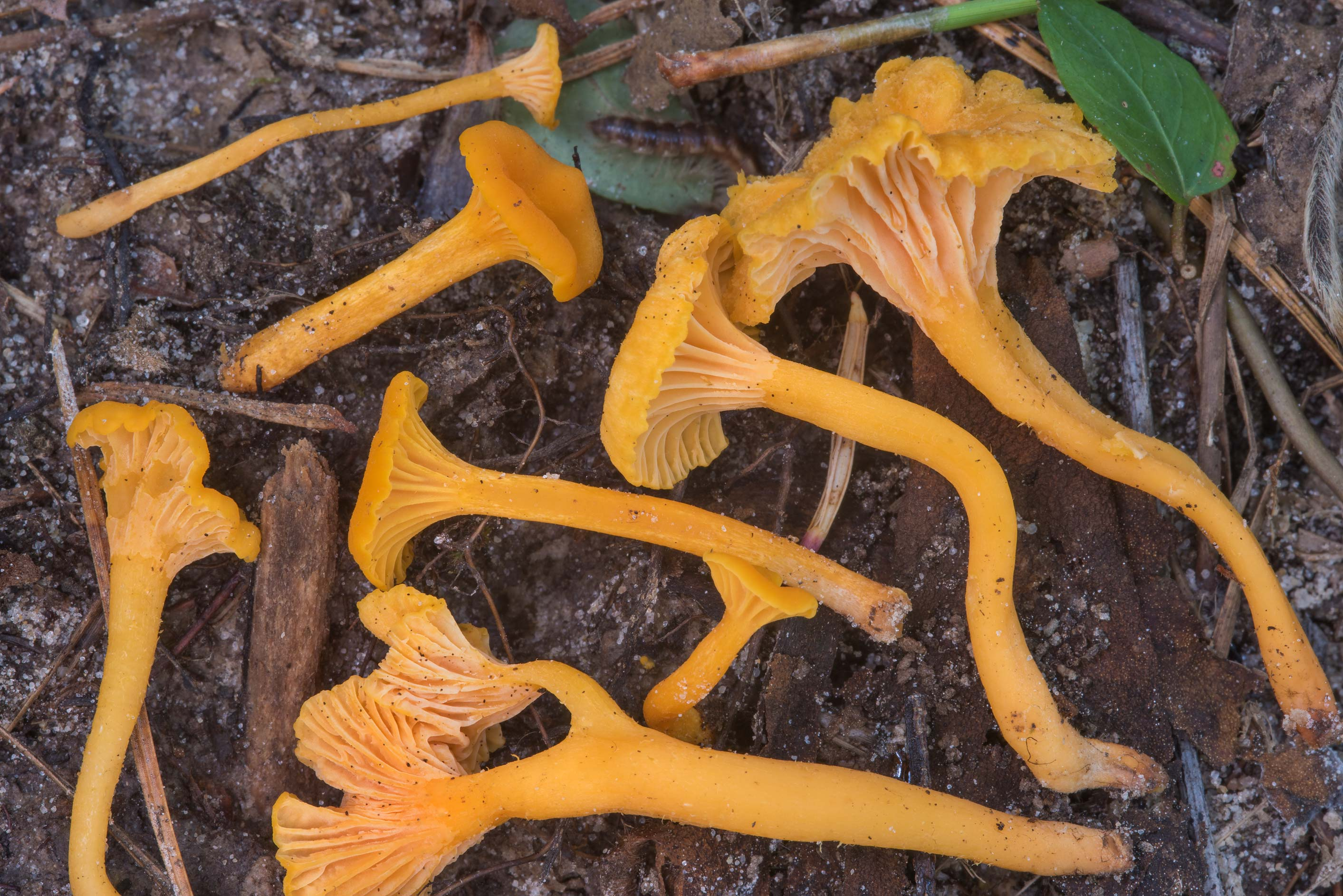 Group of chanterelle mushrooms Cantharellus minor...National Forest. Shepherd, Texas